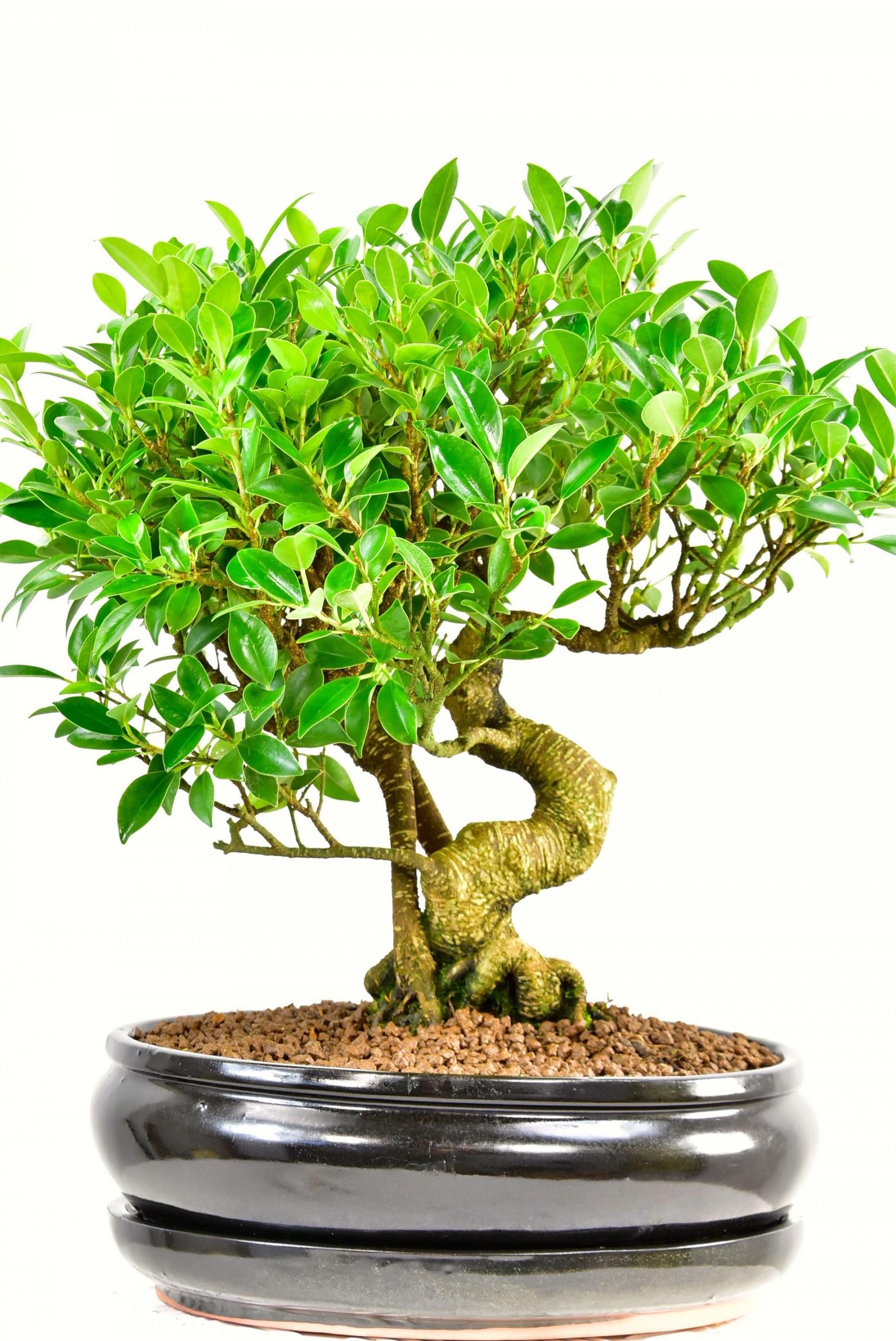 Exquisite Specimen Indoor Ficus Bonsai Tree with incredible aerial ...