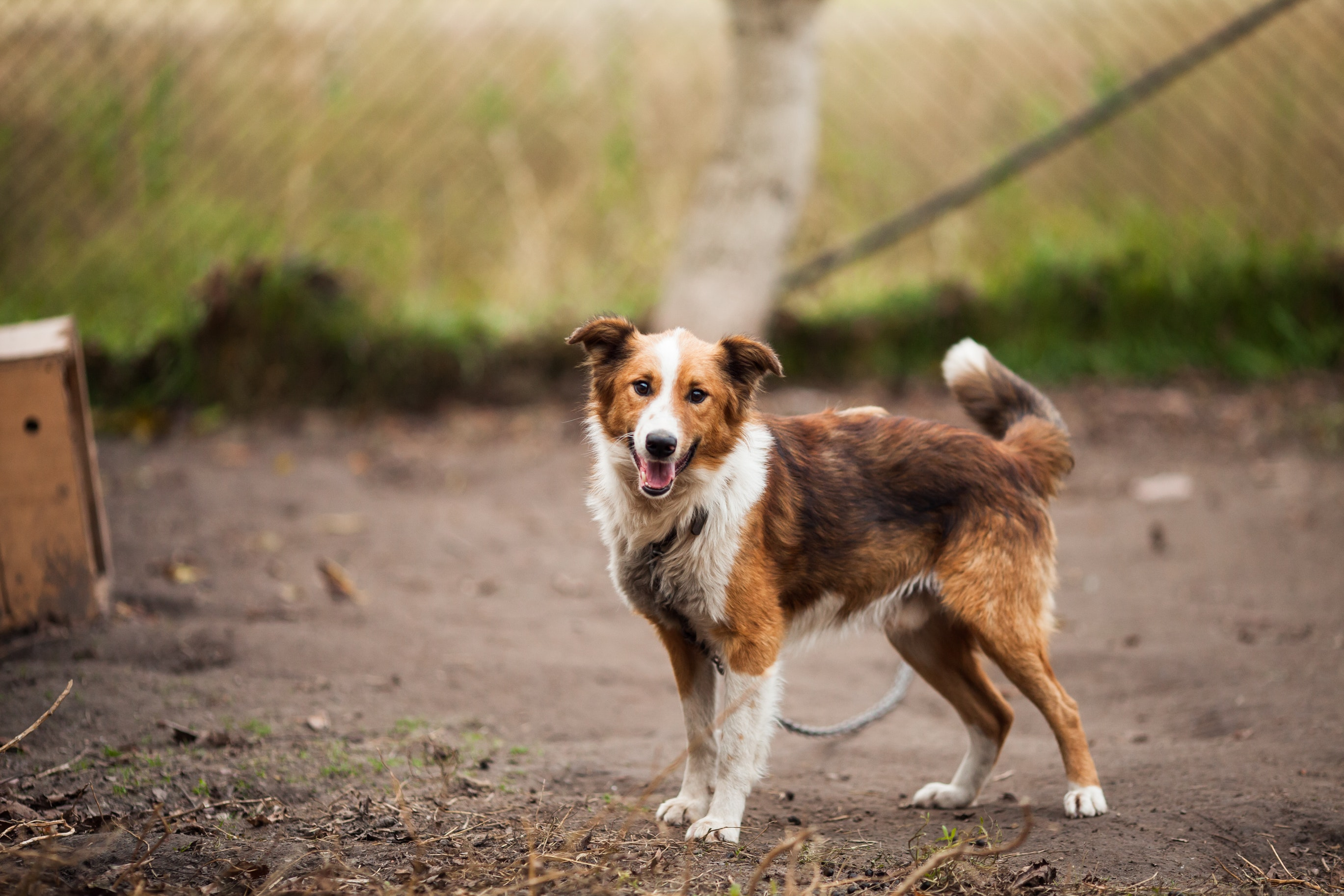 Border collie outdoor near brown wooden dog house photo