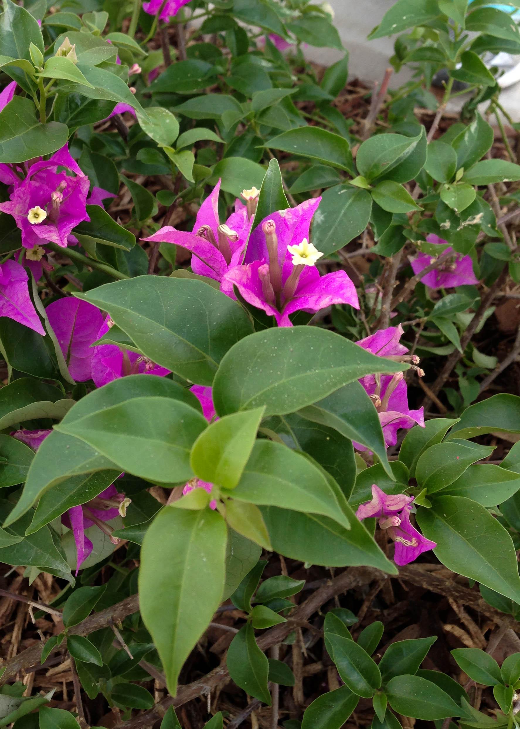 Bougainvillea, Ornament, Green, Leaf, Lilac, HQ Photo