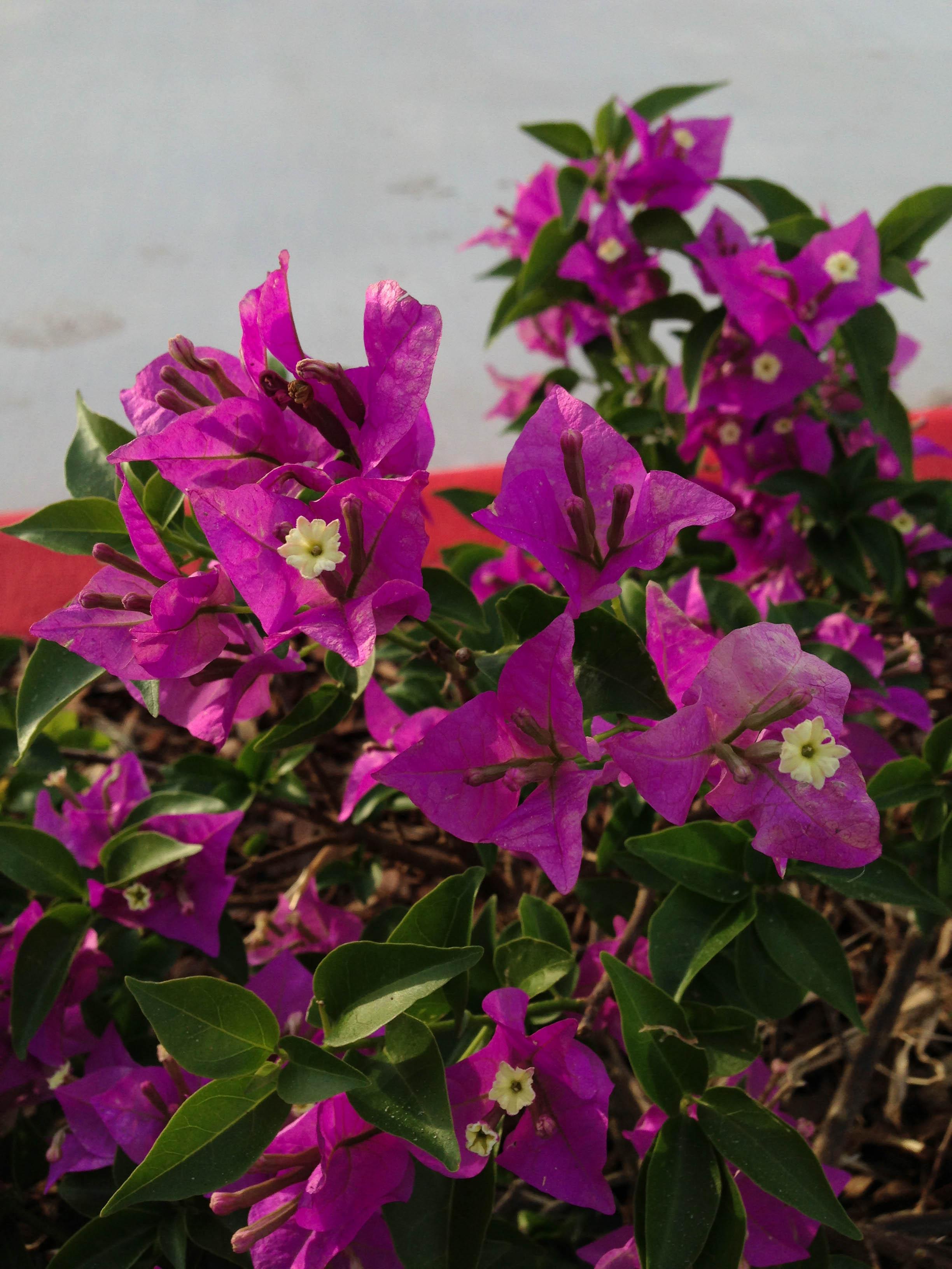 Bougainvillea, Autumn, Ornamentation, Leaf, Lilac, HQ Photo