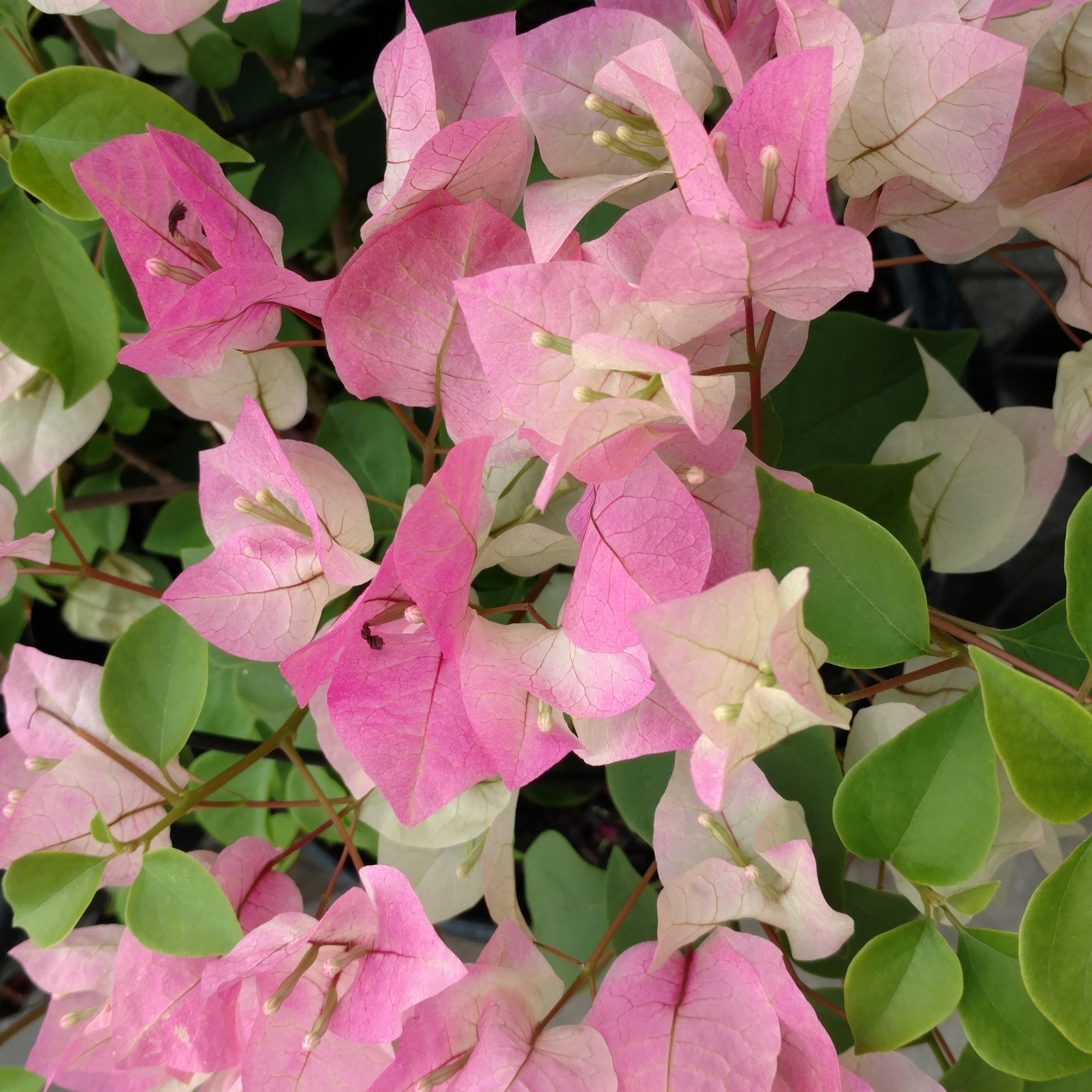 Caring For Bougainvillea Plants: Tips On Growing Bougainvillea In ...
