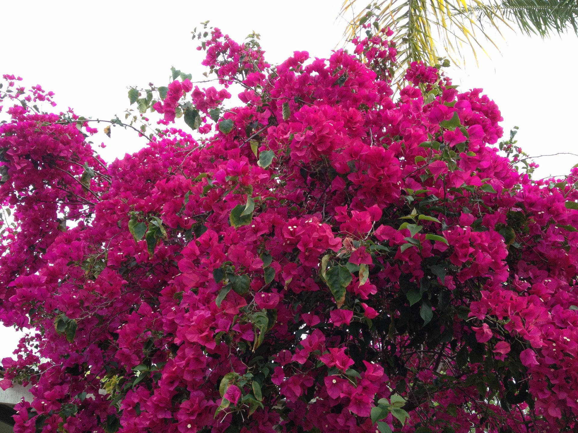 Bougainvillea Elizabeth | Free Postage | From $3.90 –Plants in a box