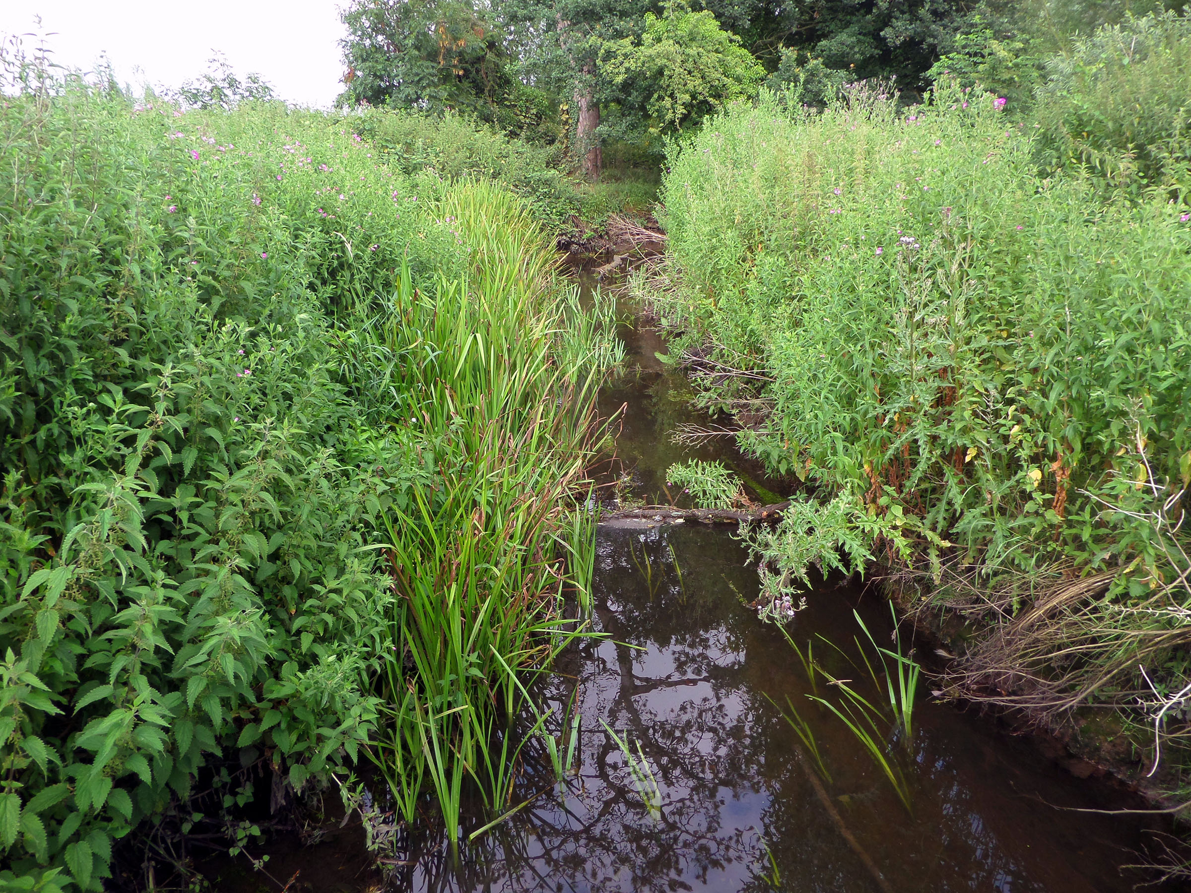 Bourne park reed beds photo