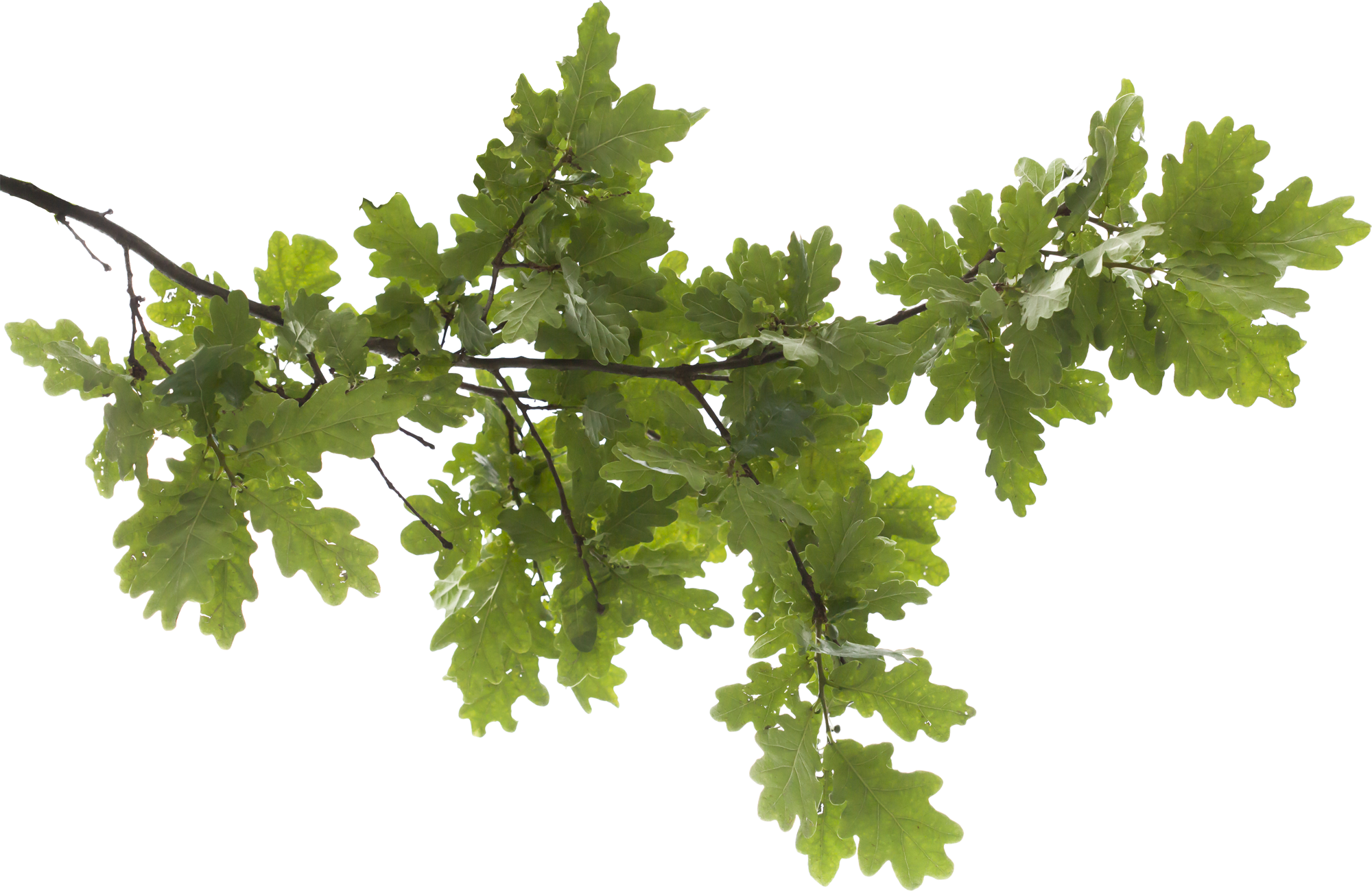 Branch PNG Transparent Free Images | PNG Only