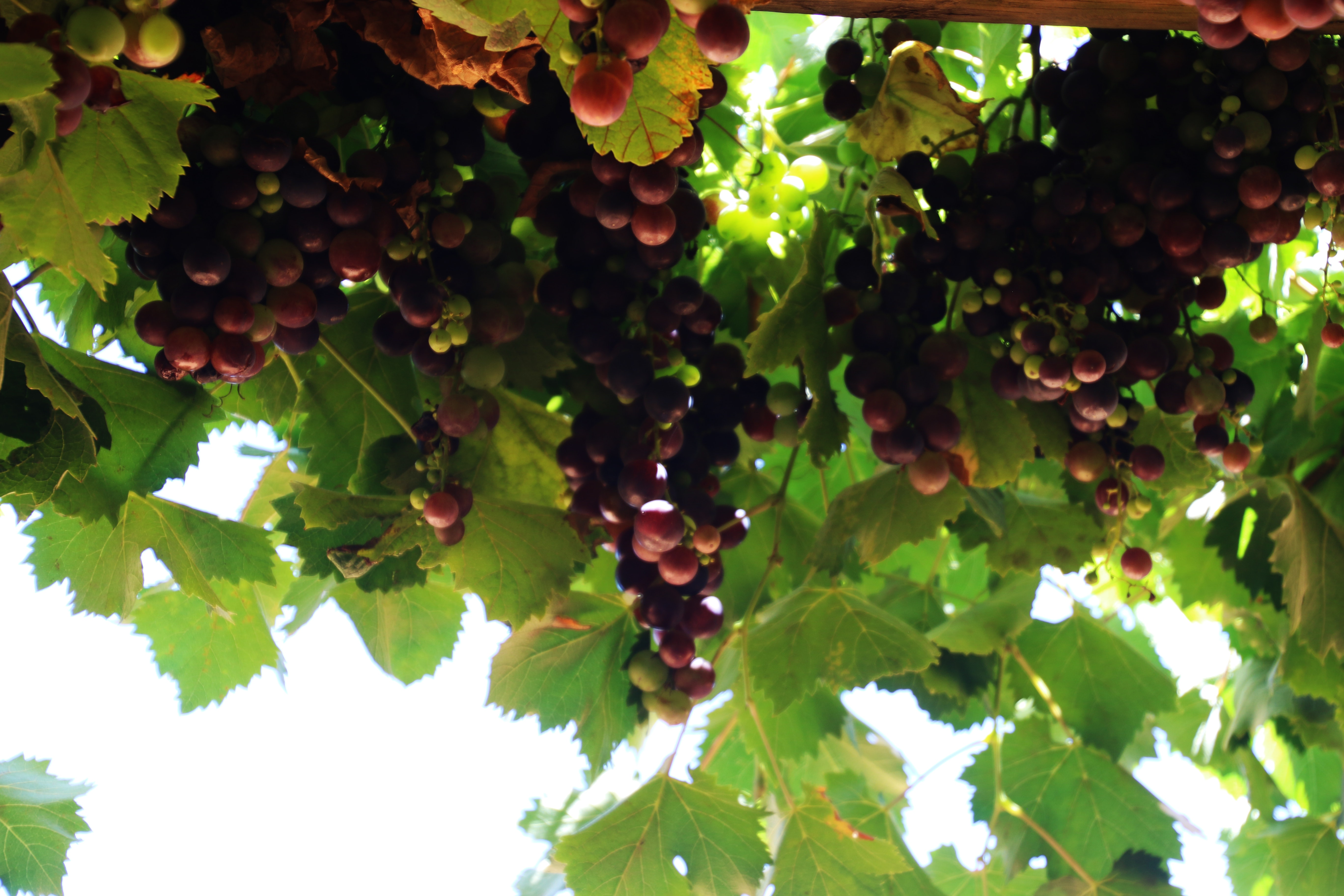 Bright bunch of black grapes, Bright bunch of black grapes