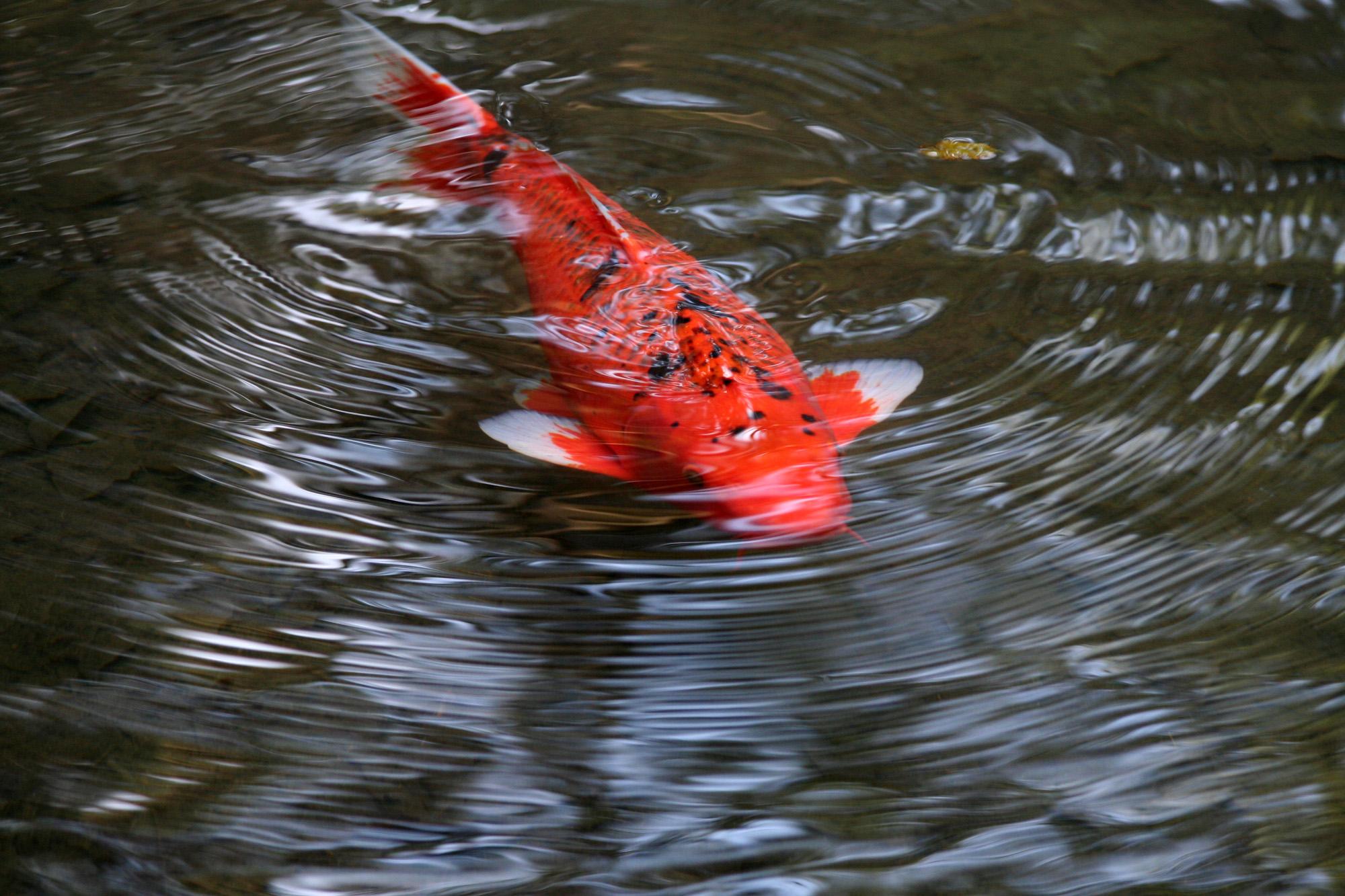 Free photo: bright orange fish - sea, sealife, scubadiving - Non ...