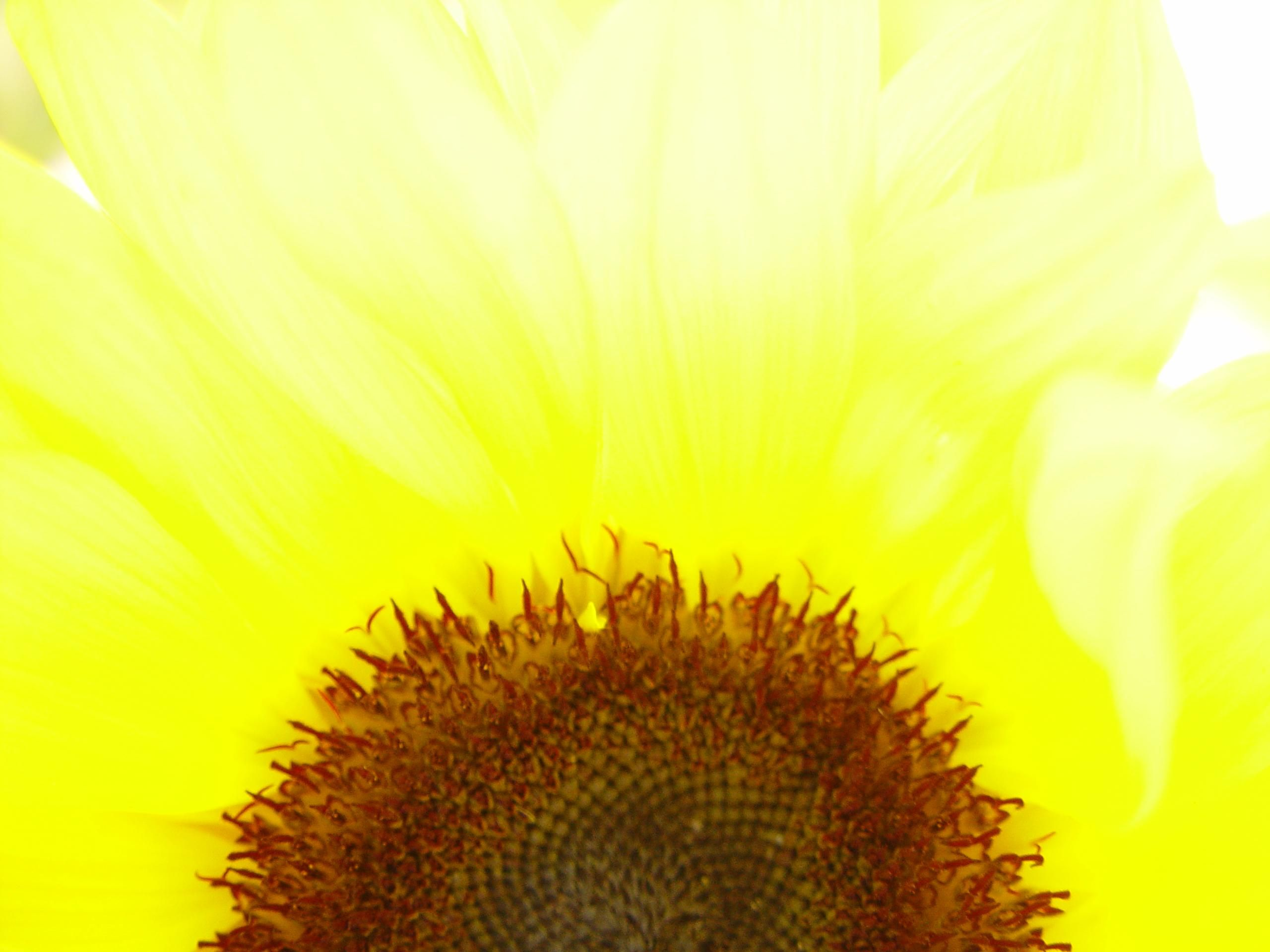 Bright sunflower photo