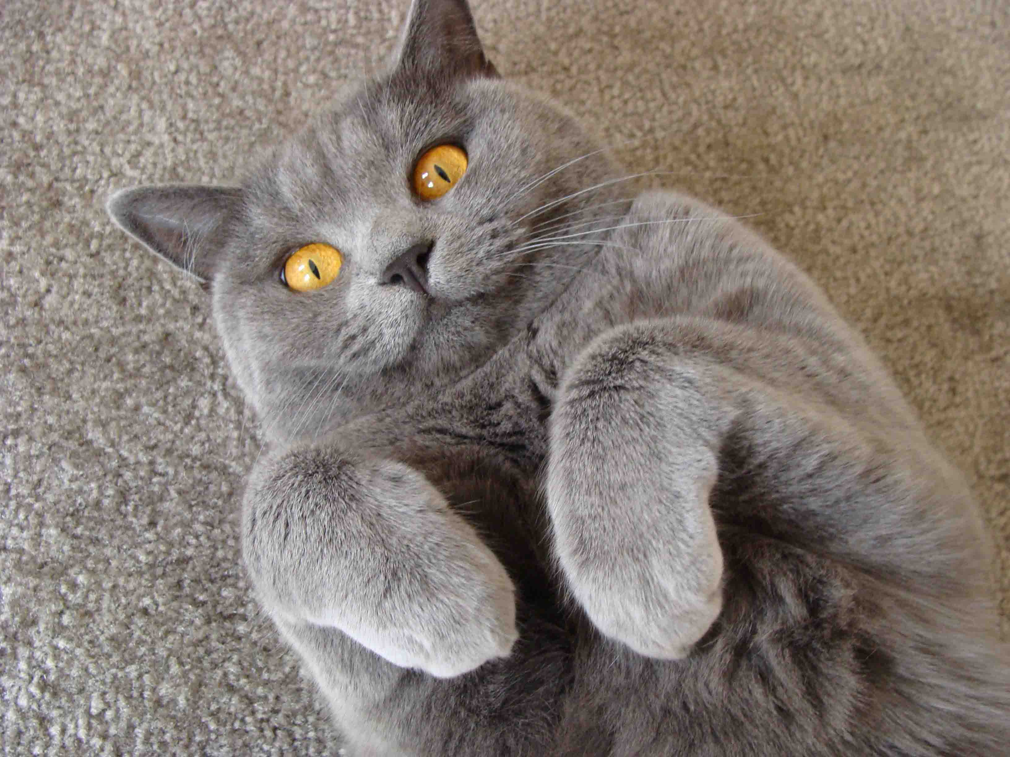 Pin by British Shorthair Martin on Cats <3 | Pinterest | British ...