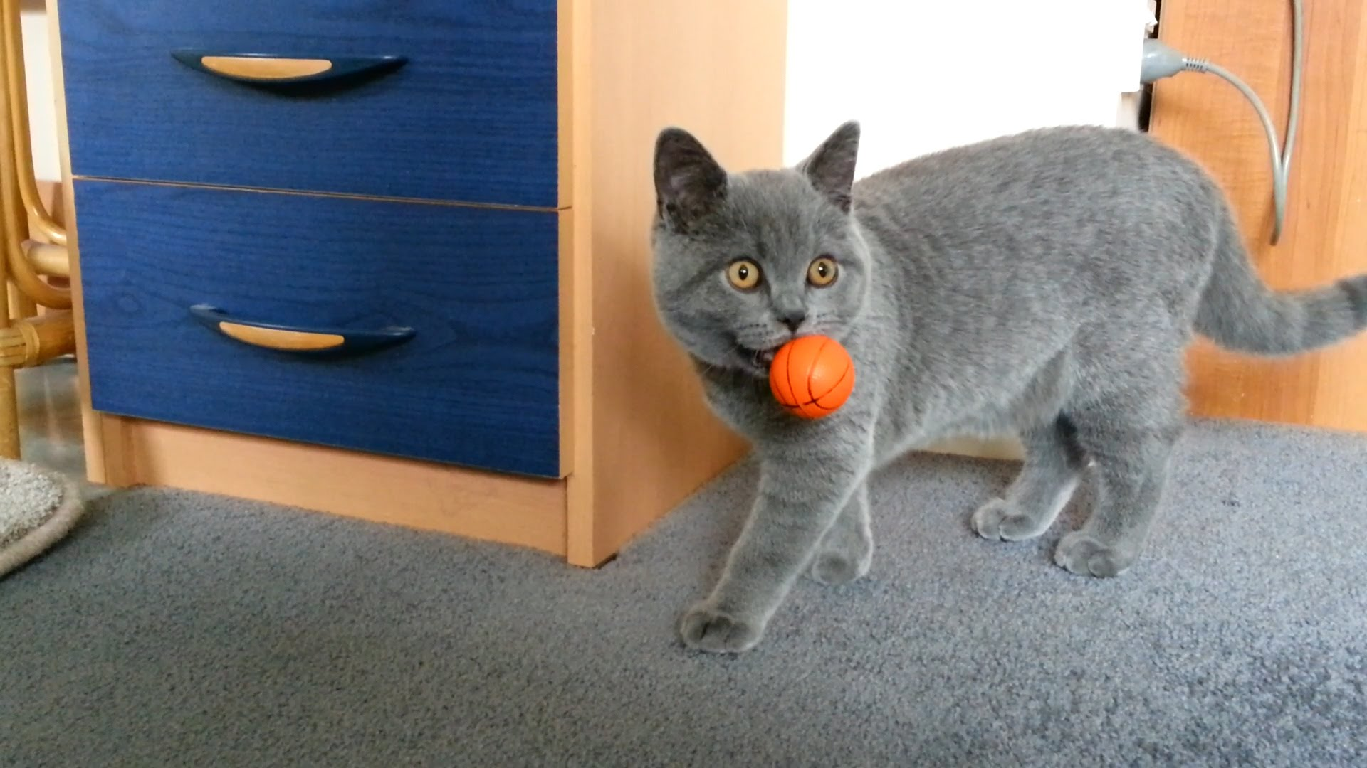 British Shorthair Blue Kitten, 19 weeks, playing/fetching the ball ...