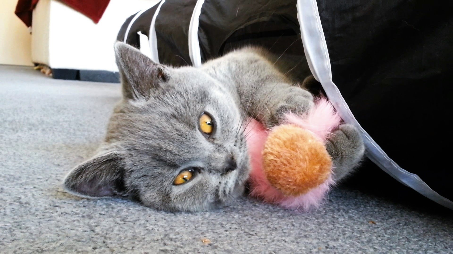 British Shorthair Kitten, Kesha 17 weeks, playing in cat's tunnel ...