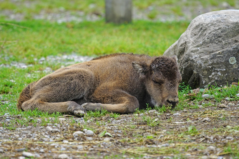 Brown 4-legged animal lying on green grass during daytime HD ...