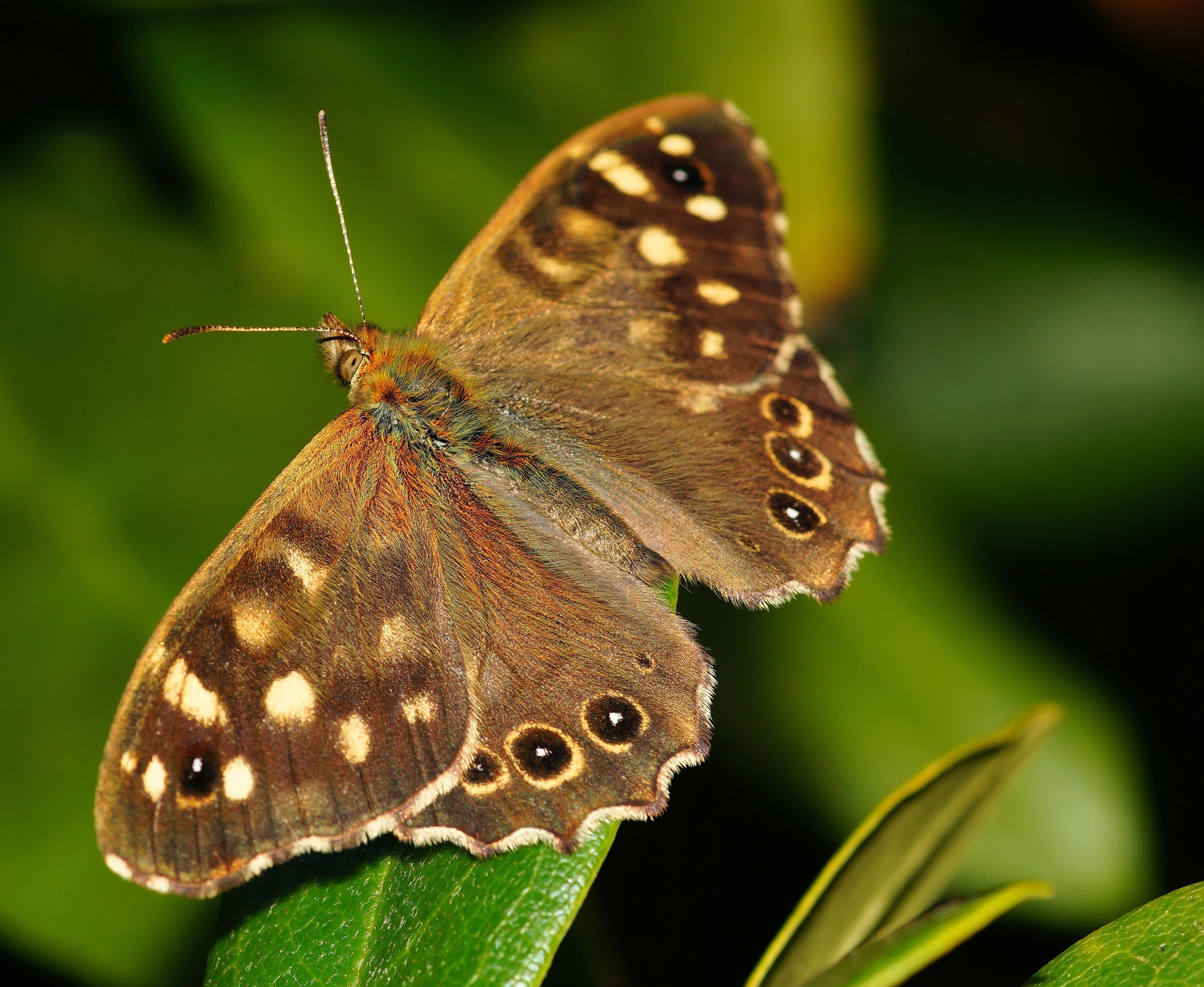 Brown and black butterfly photo