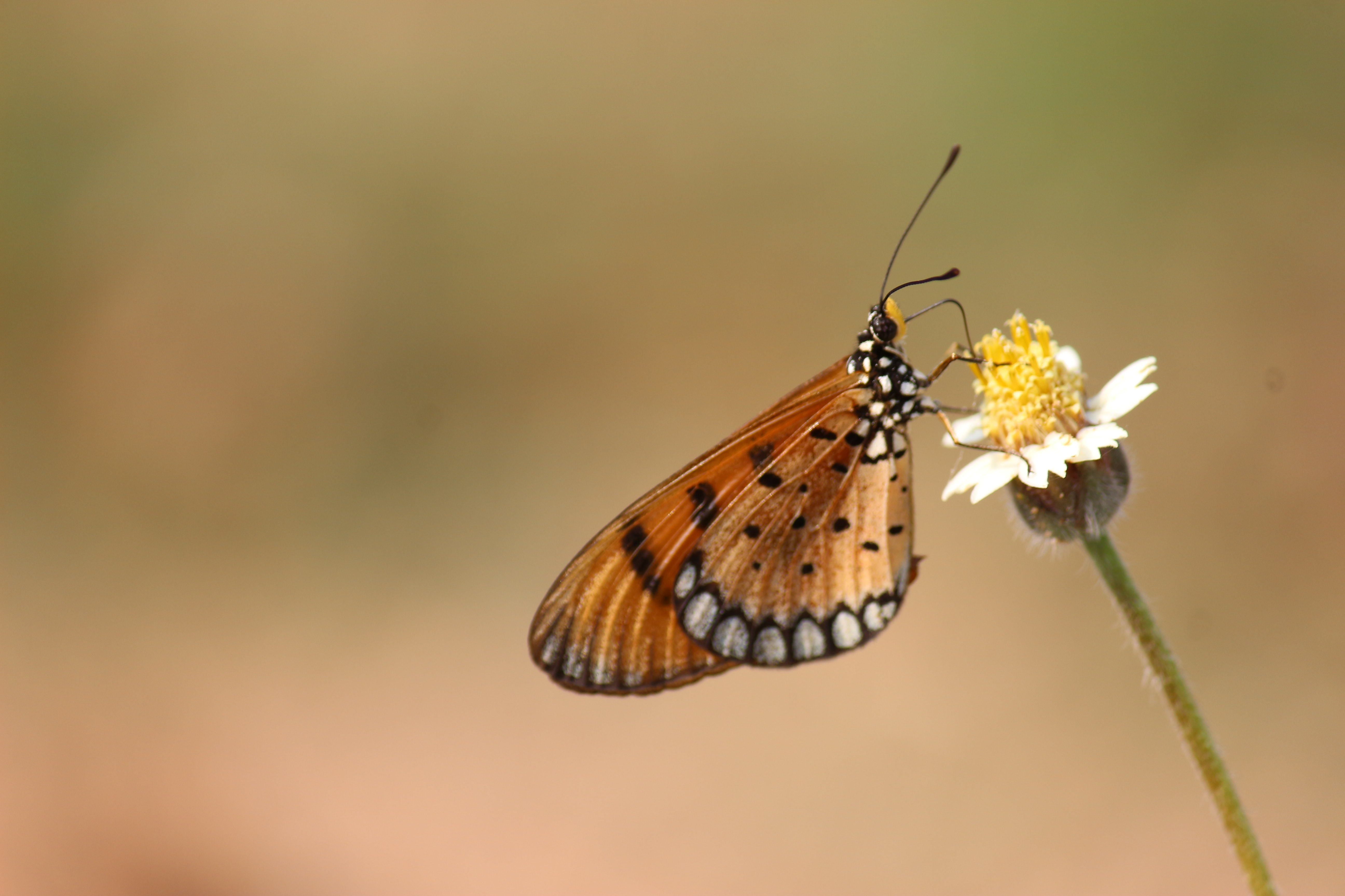 Brown and black butterfly on white petaled flower photo
