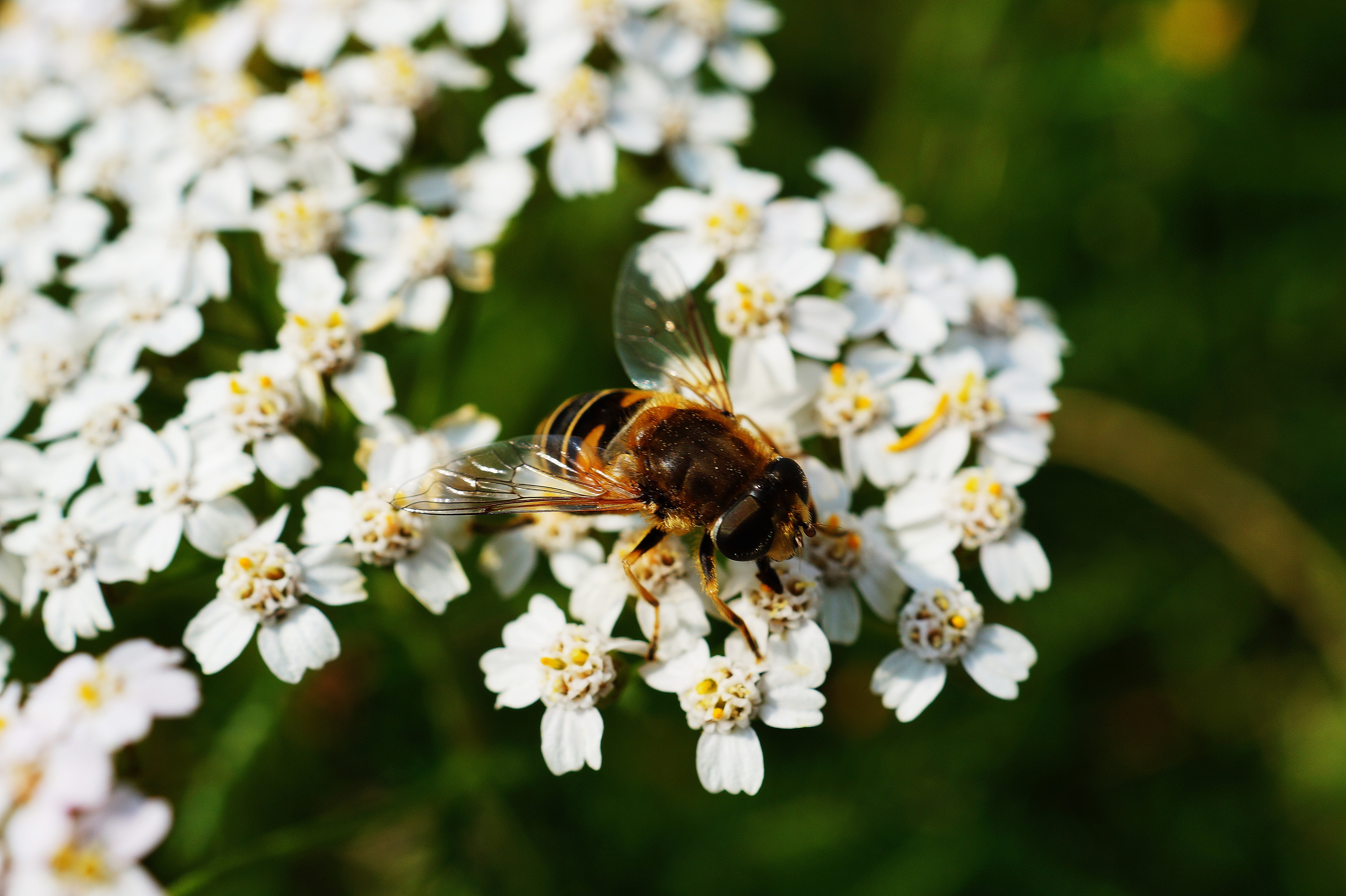 Brown and black honey bee on white flower near green plants during daytime photo