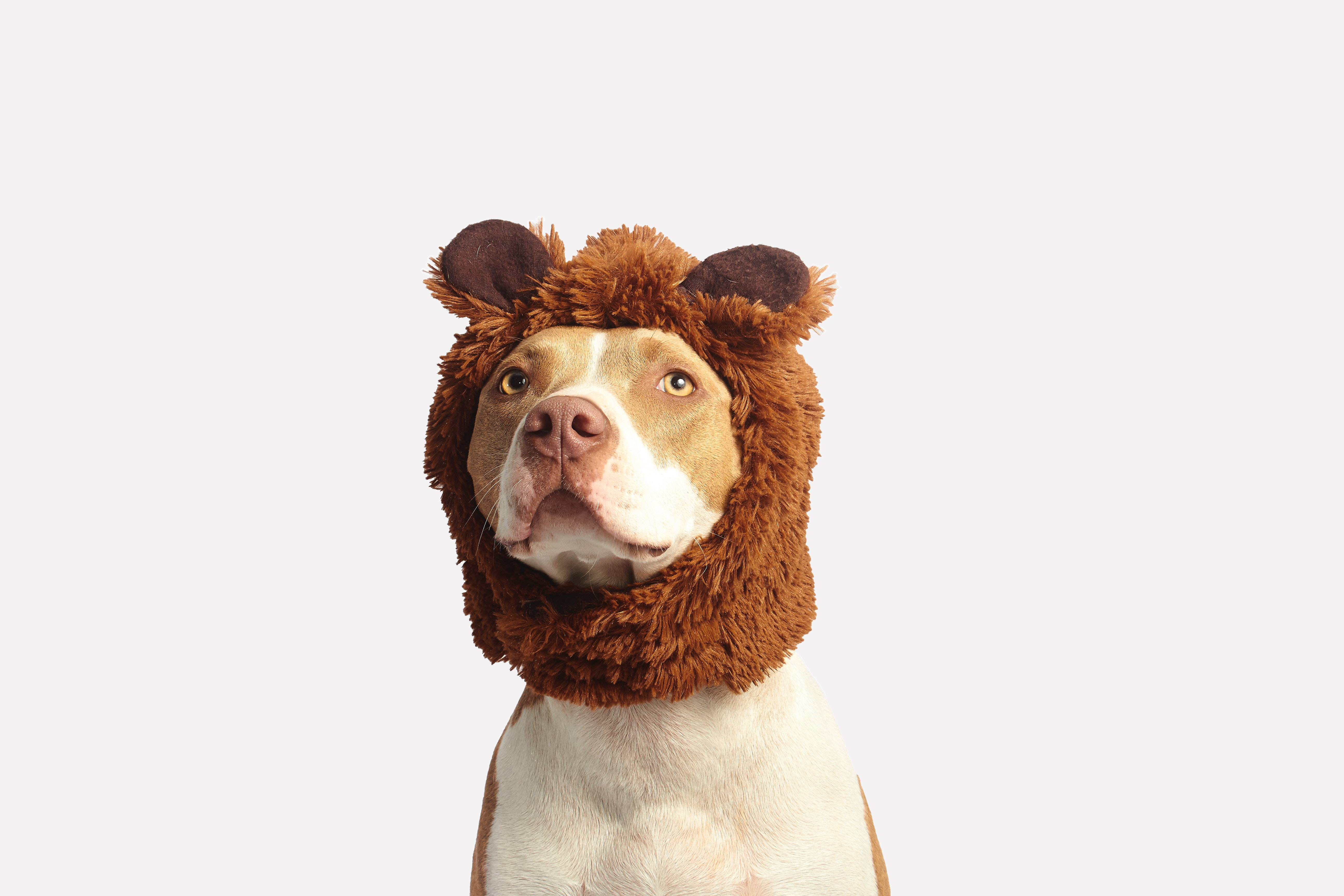 Brown and White American Pit Bull Terrier With Brown Costume, Adorable, Headwear, Studio, Sit, HQ Photo