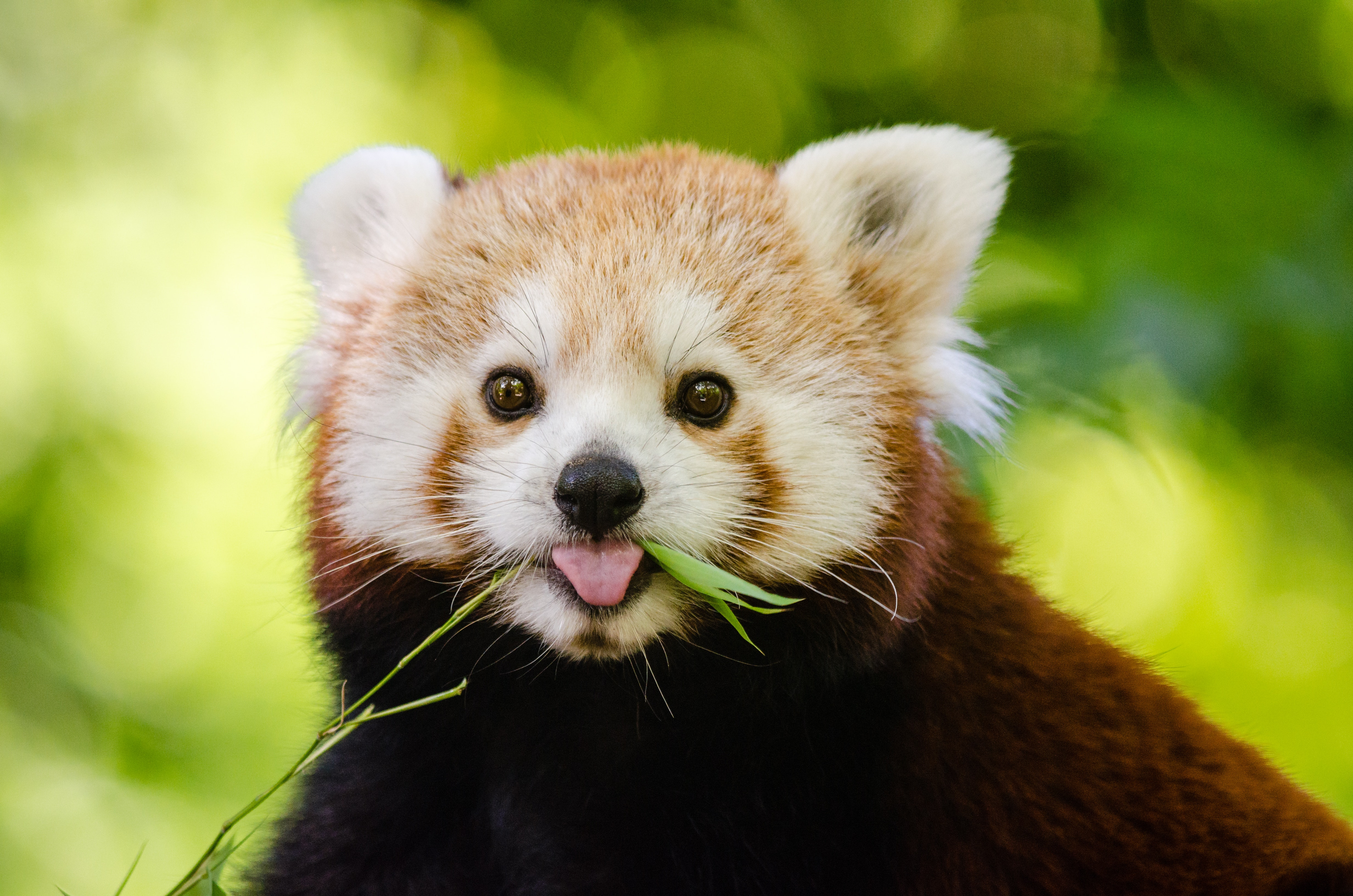 Brown and White Grizzly Bear, Red panda, Wildlife, Furry, Close-up, HQ Photo