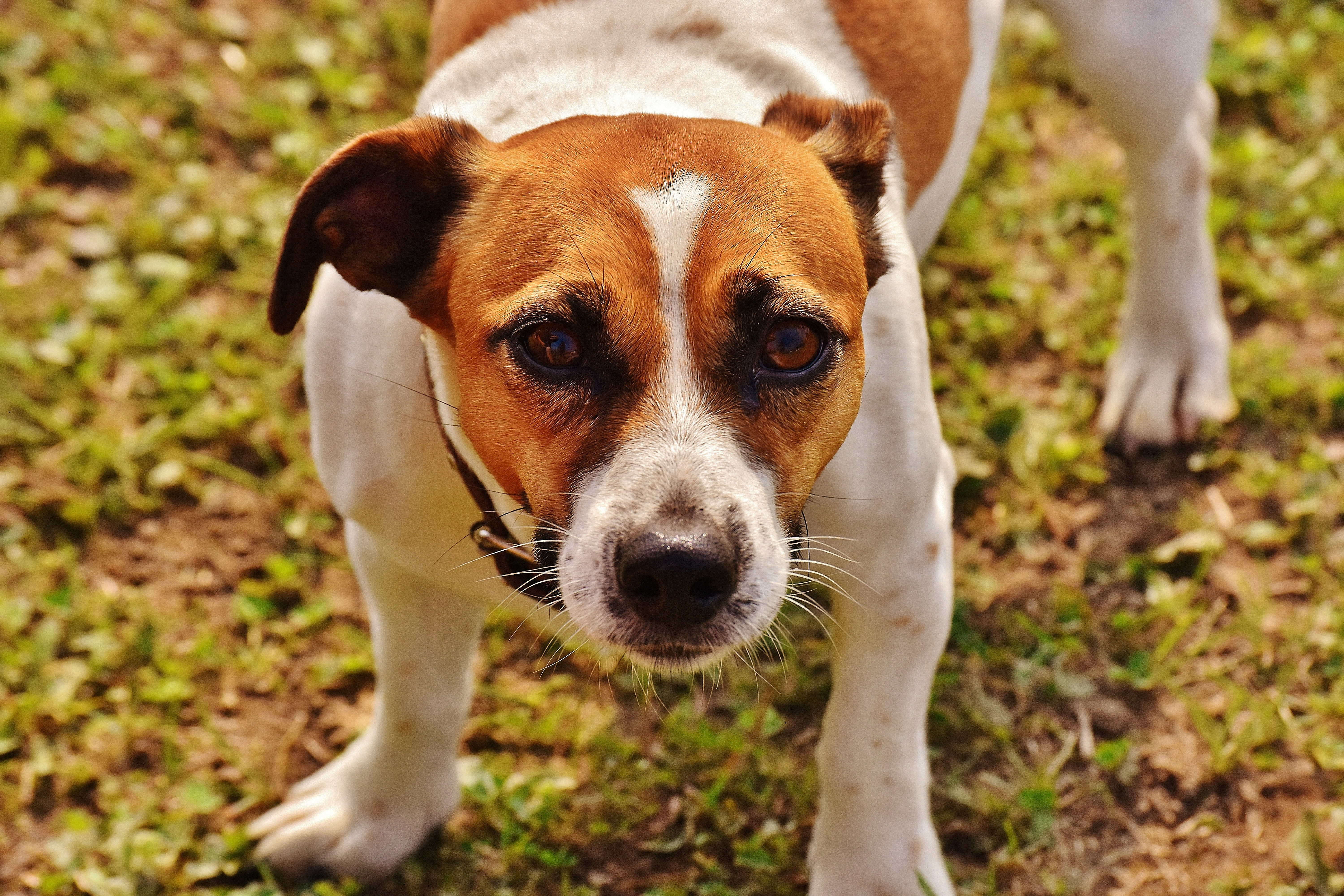 Brown and White Jack Russell Terrier, Looking, Young, Terrier, Purebred, HQ Photo