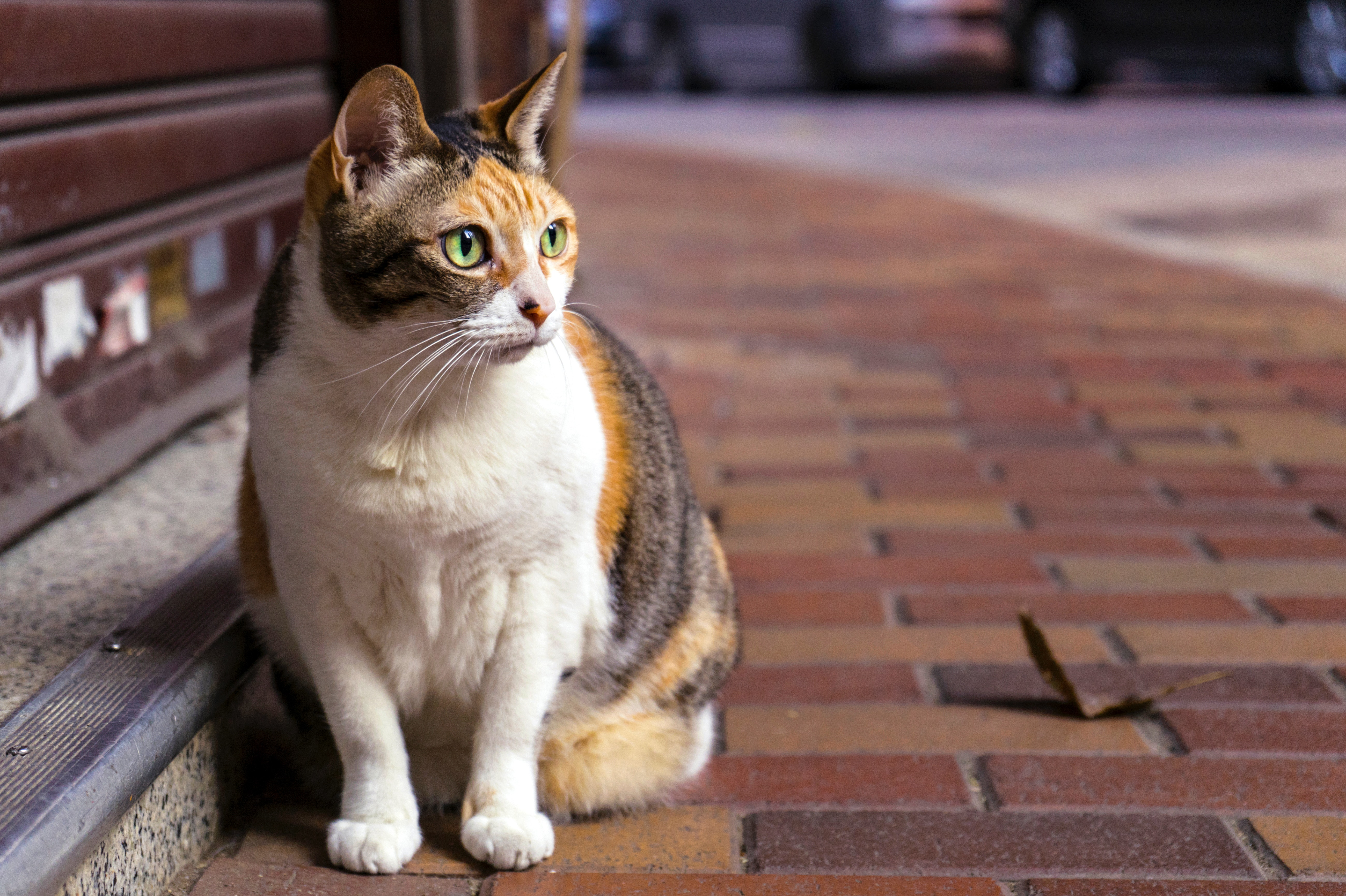 Brown and White Tabby Cat Sitting on Brown Brick Pathway, Animal, Head, Whiskers, Street, HQ Photo