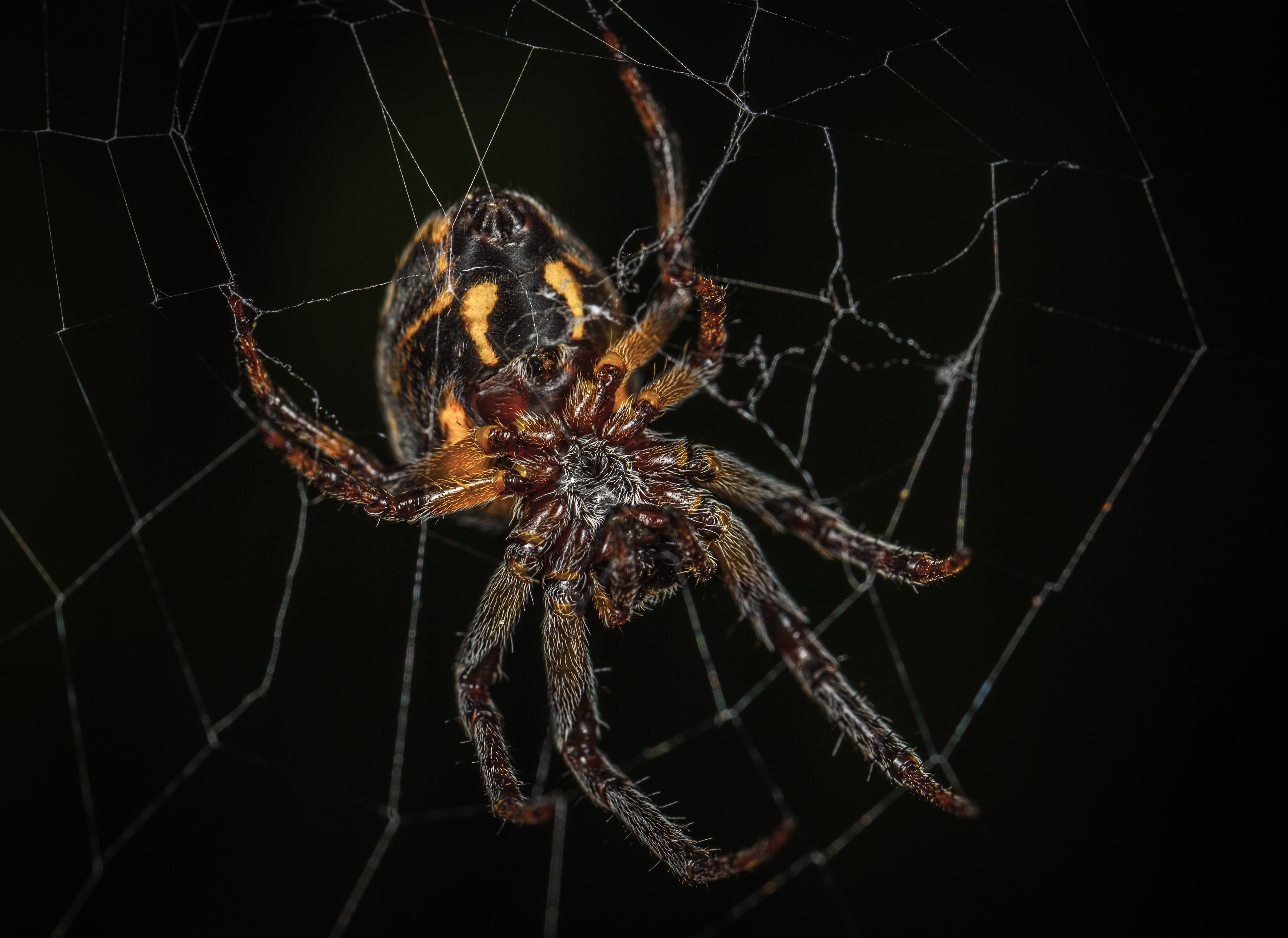 Brown barn spider in closeup photography