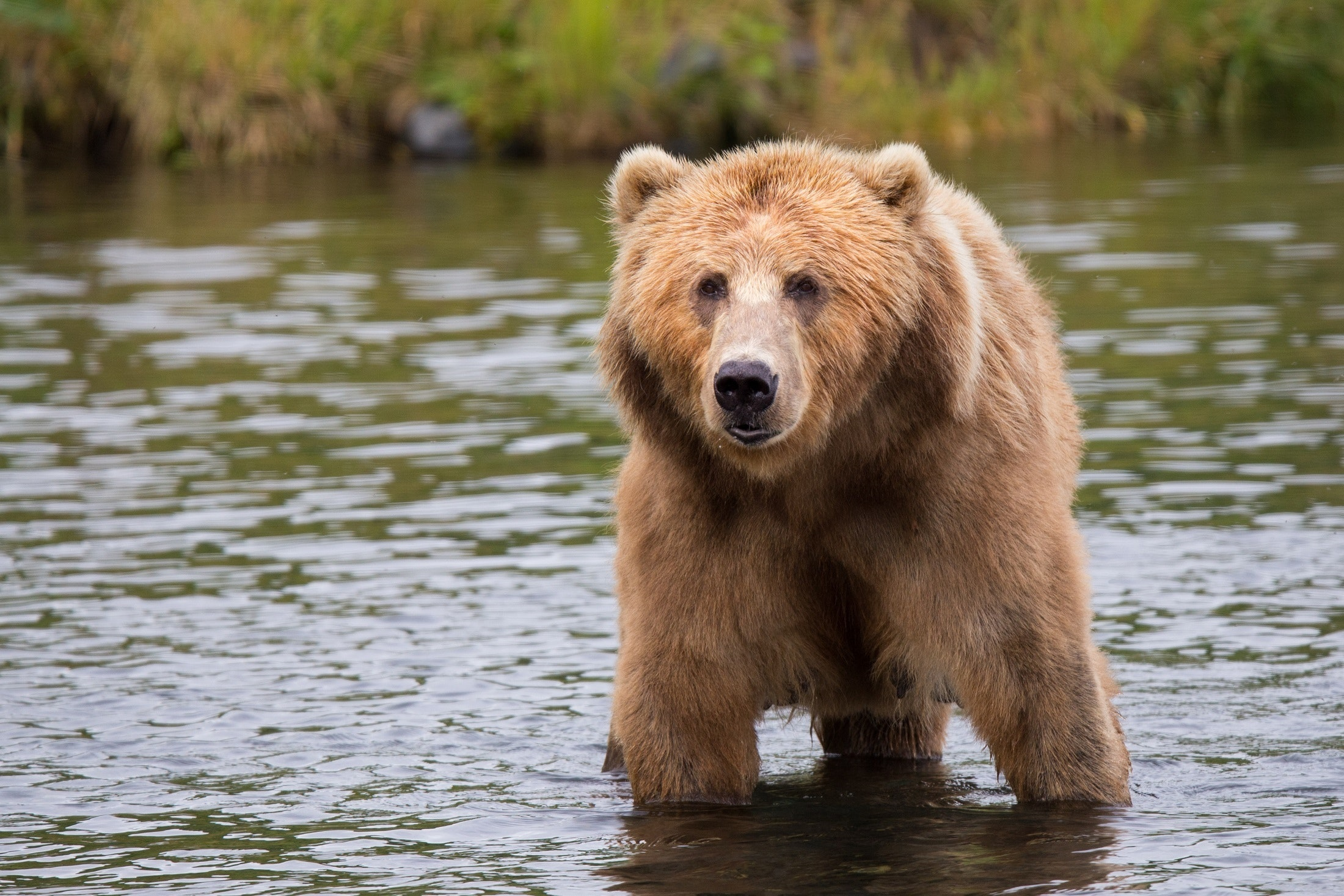 Brown bear in body of water during daytime photo