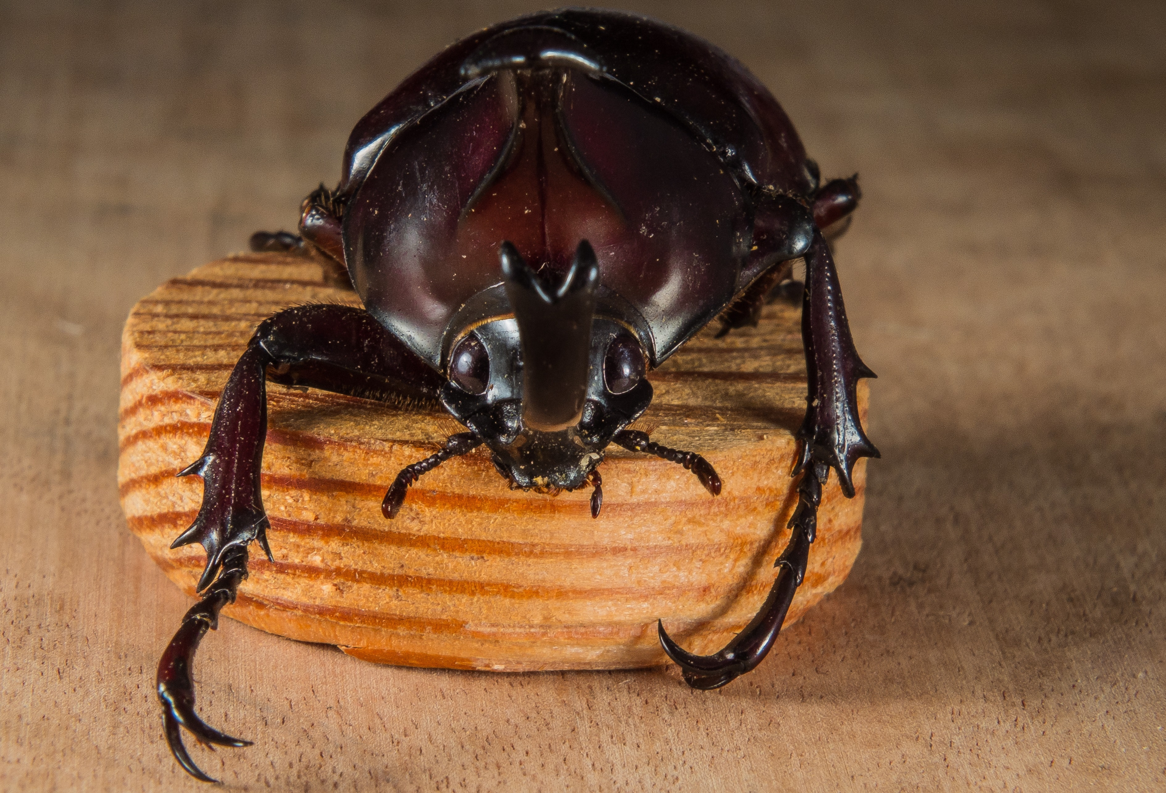 Brown Beetle, Wood, Insect, Close-up, Beetle, HQ Photo