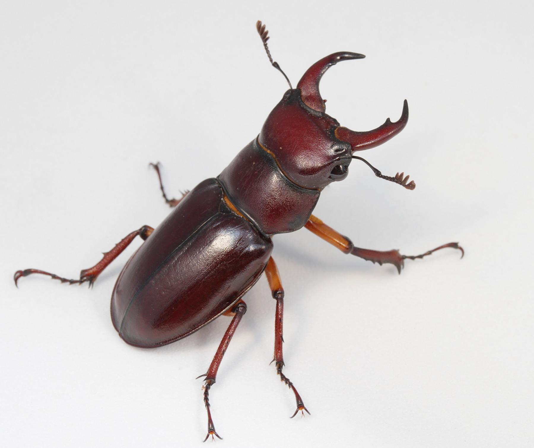 Reddish-brown Stag Beetle (Lucanus capreolus) · iNaturalist.org
