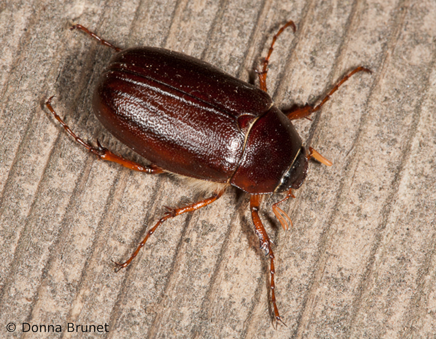 May Beetles (June Bugs) | MDC Discover Nature