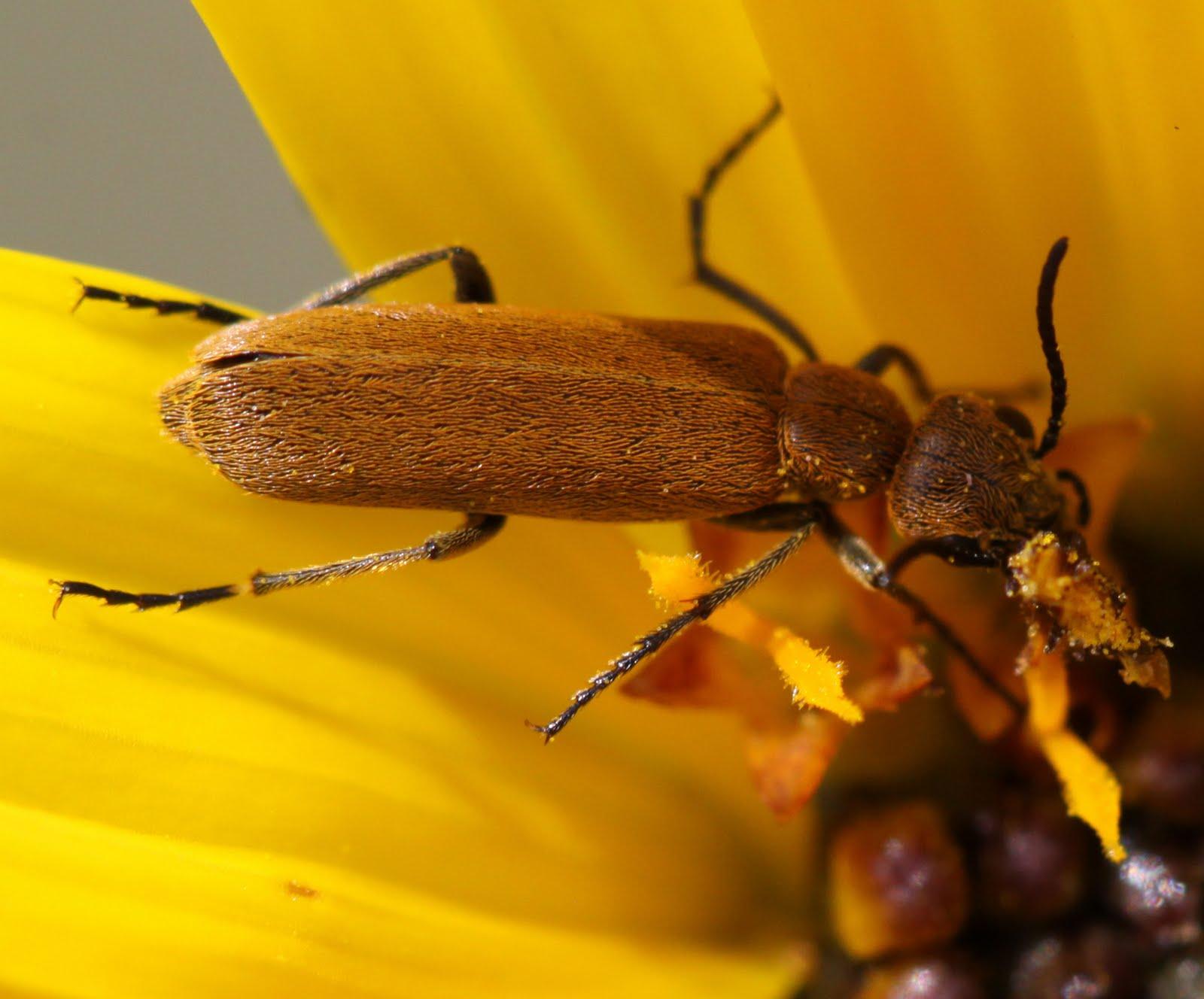Akayo'kaki A'pawaawahkaa: Pisttoo Incubating And Blister Beetles