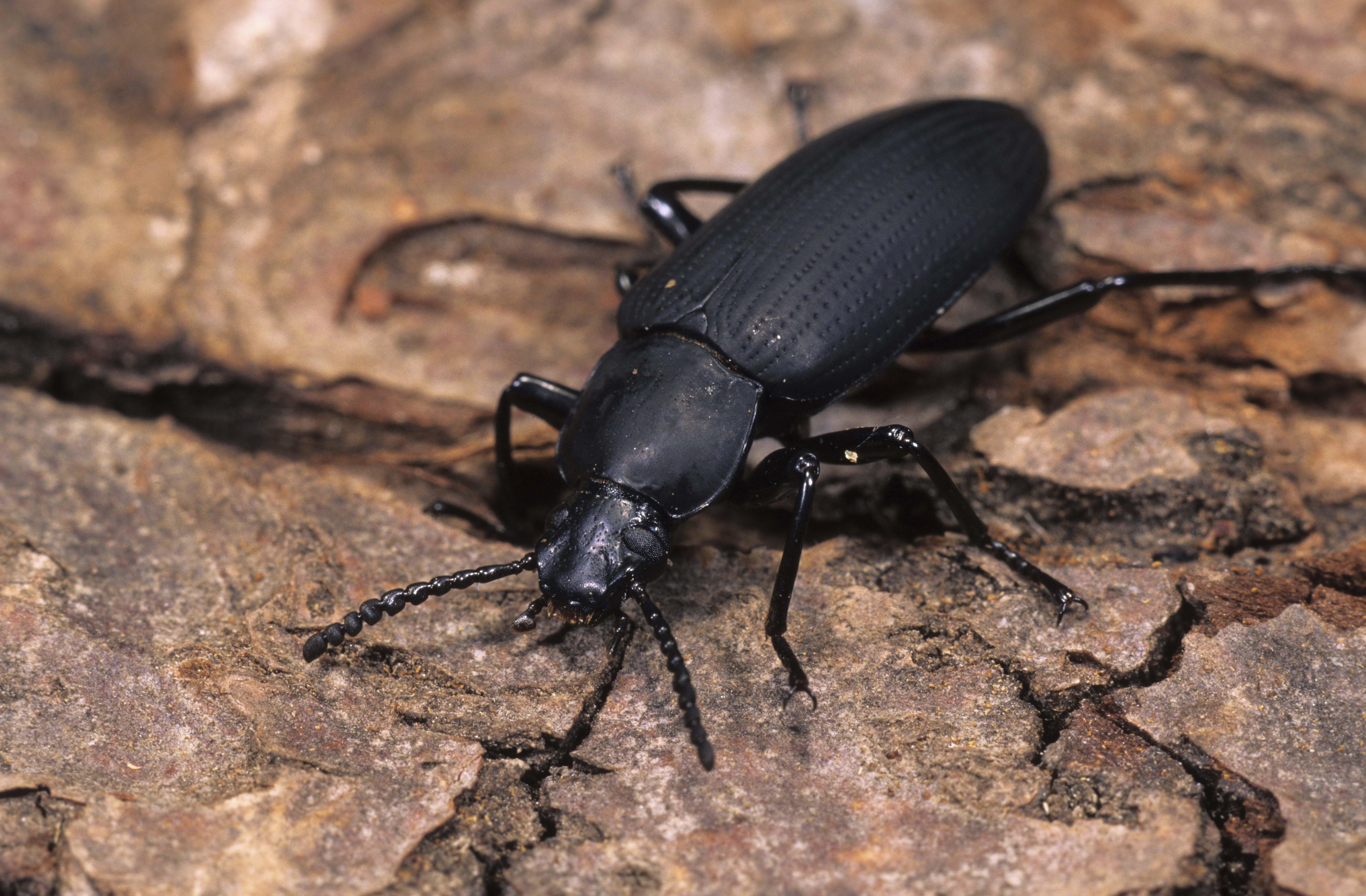 Black blister beetle HD wallpaper | Wallpaper Flare
