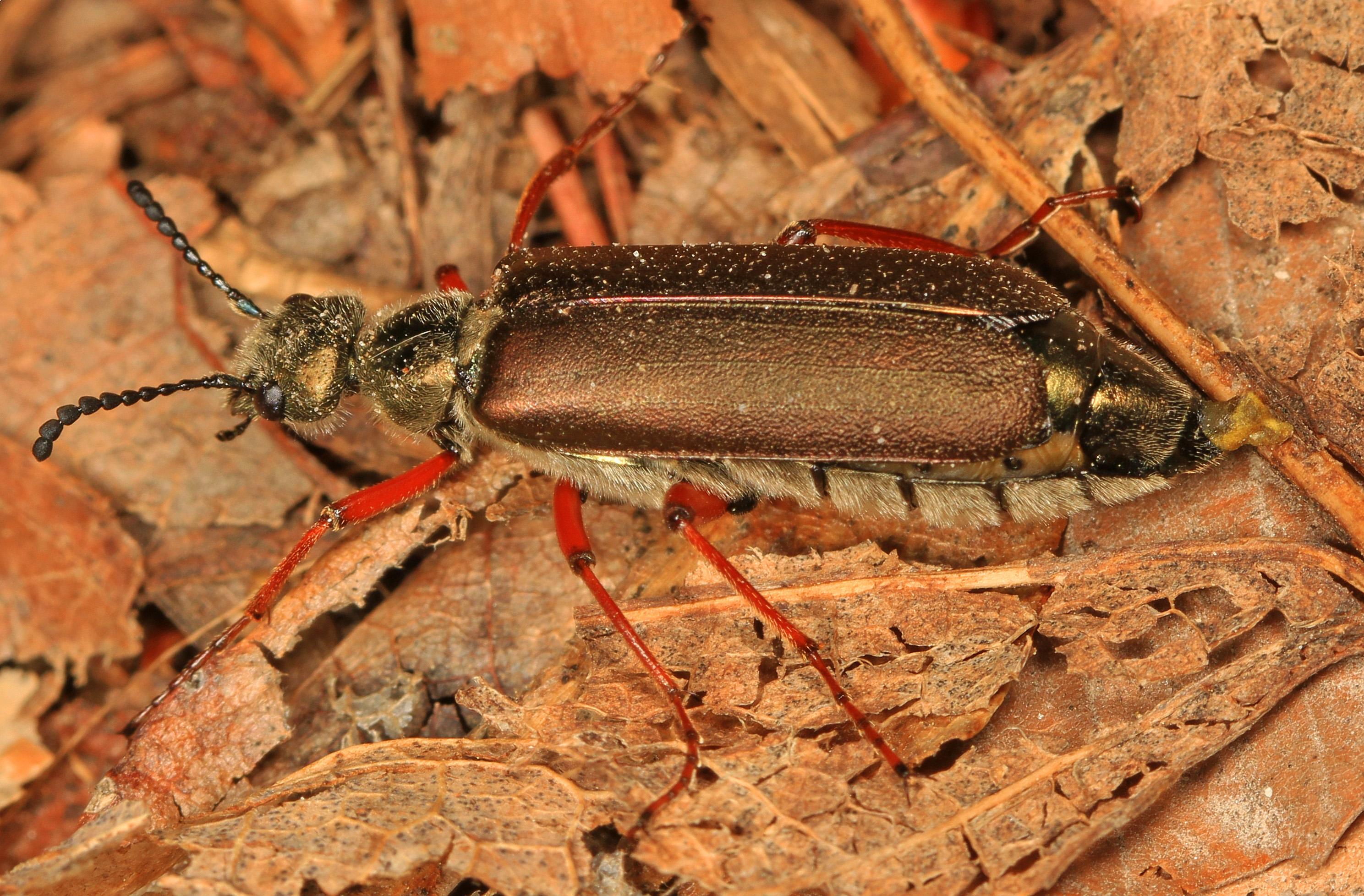 File:Blister Beetle - Lytta aenea, Leesylvania State Park ...