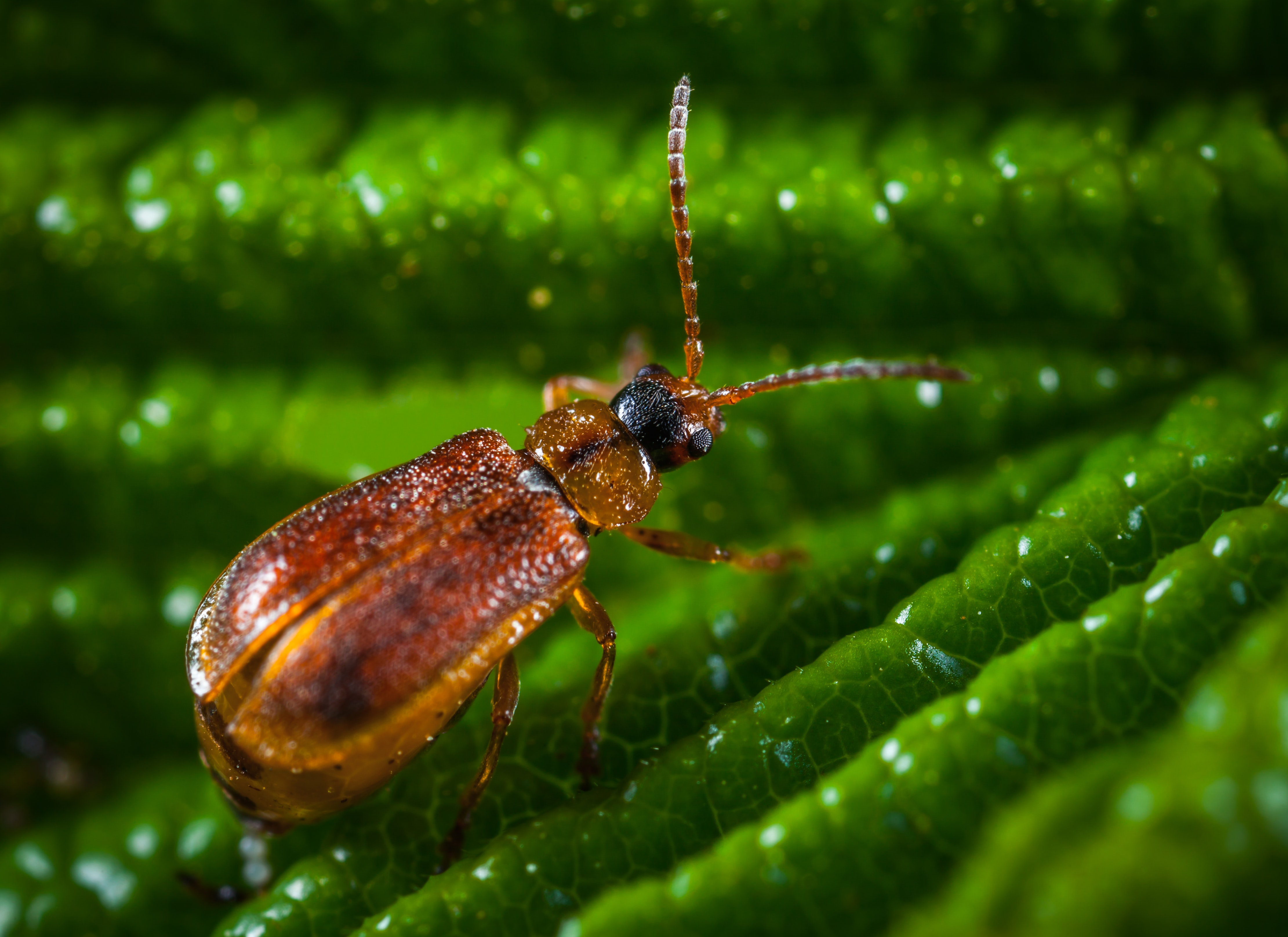 Brown blister beetle photo