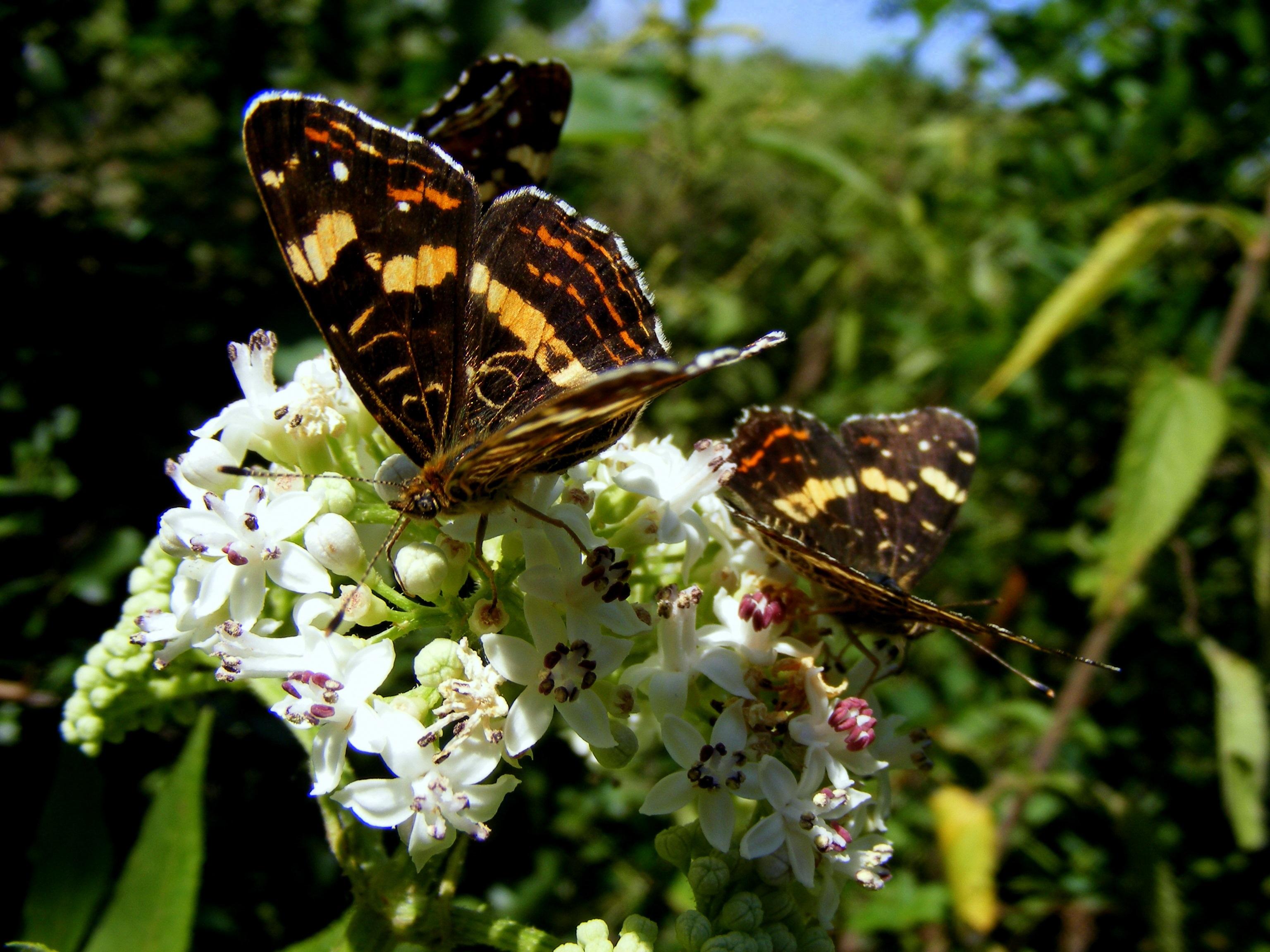 Brown butterflies photo