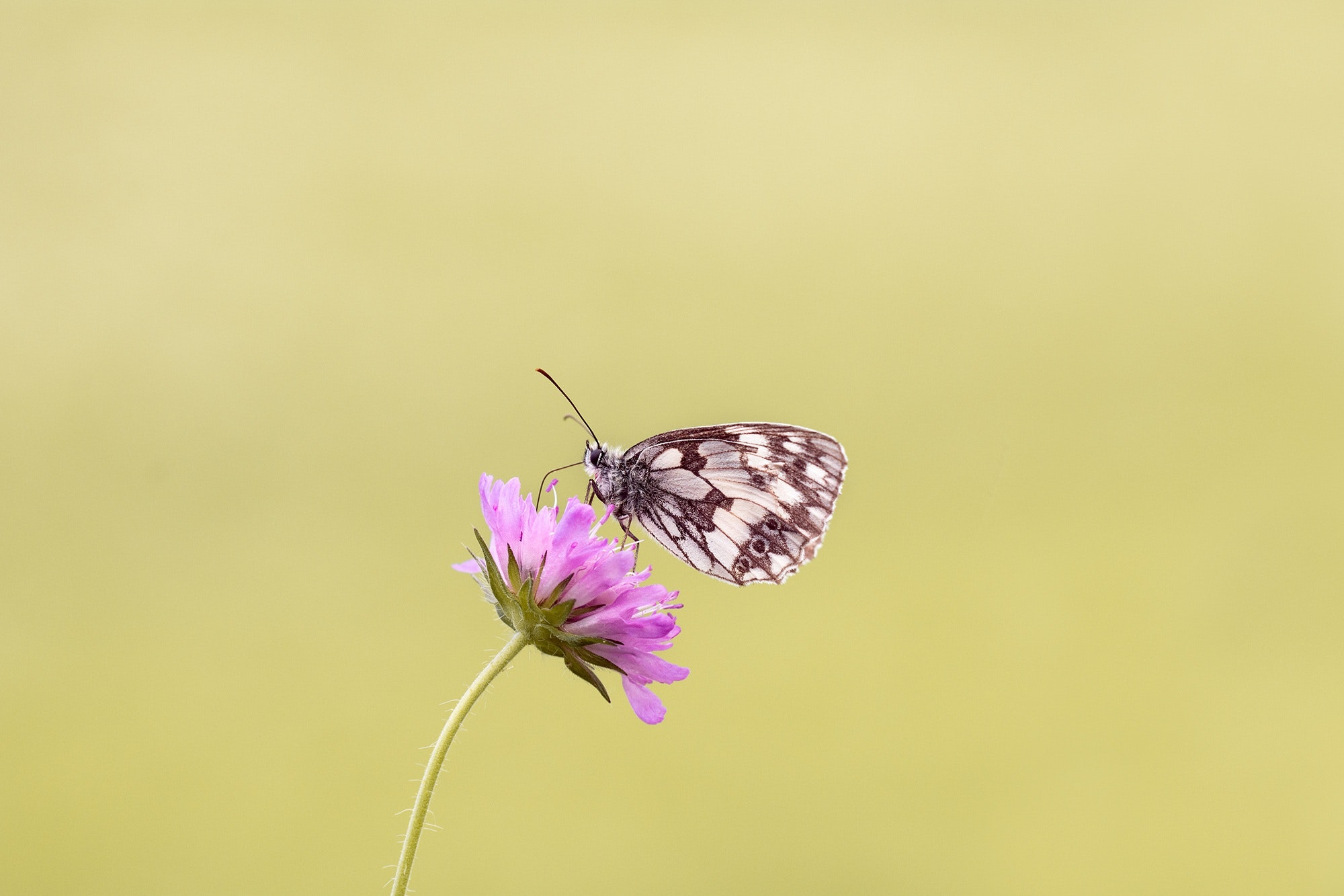 Brown Butterfly Perched on Pink Flower, Bloom, Blossom, Butterfly, Flora, HQ Photo