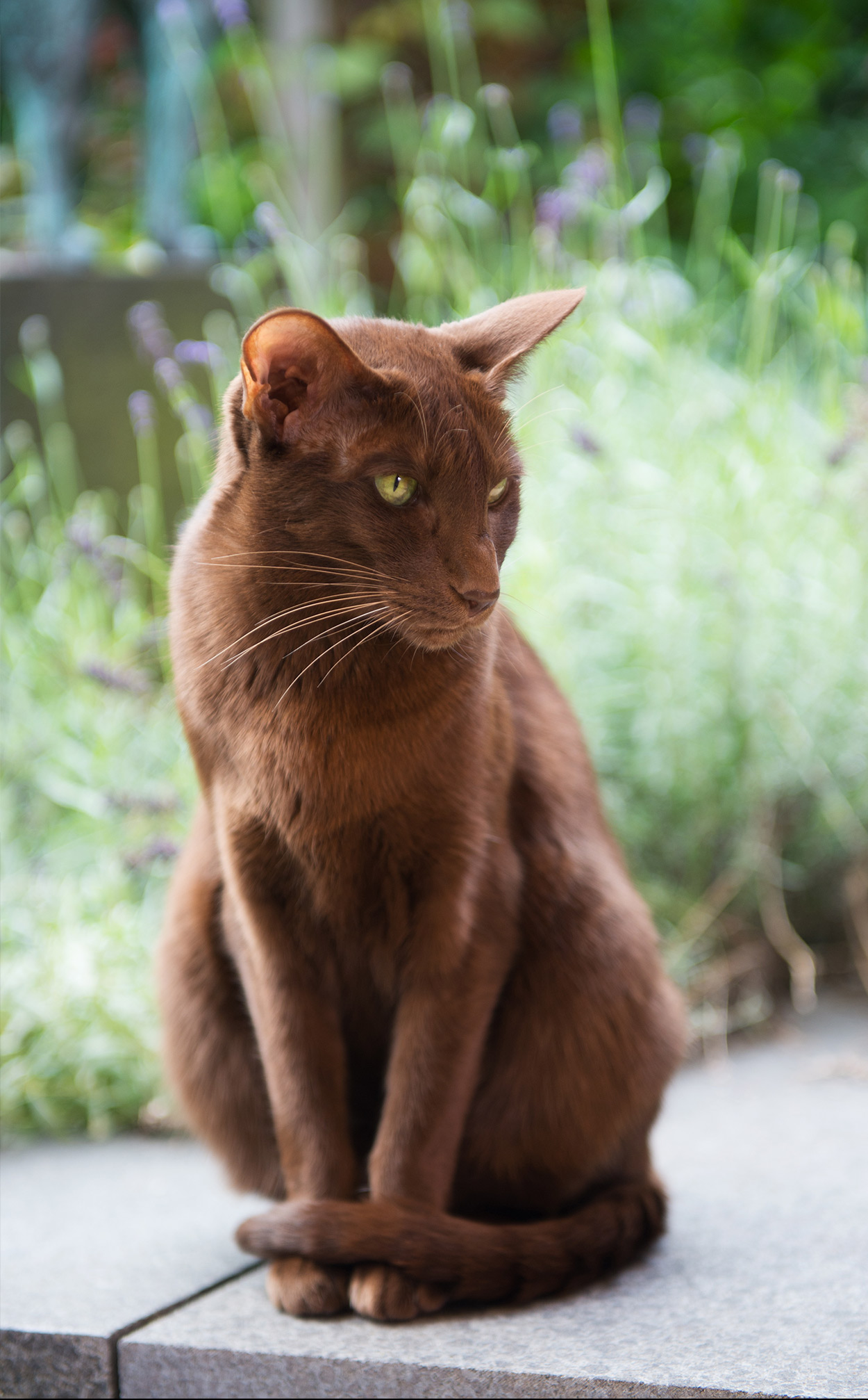 Havana Brown Cat - Your Complete Guide To The Rare Havana Breed