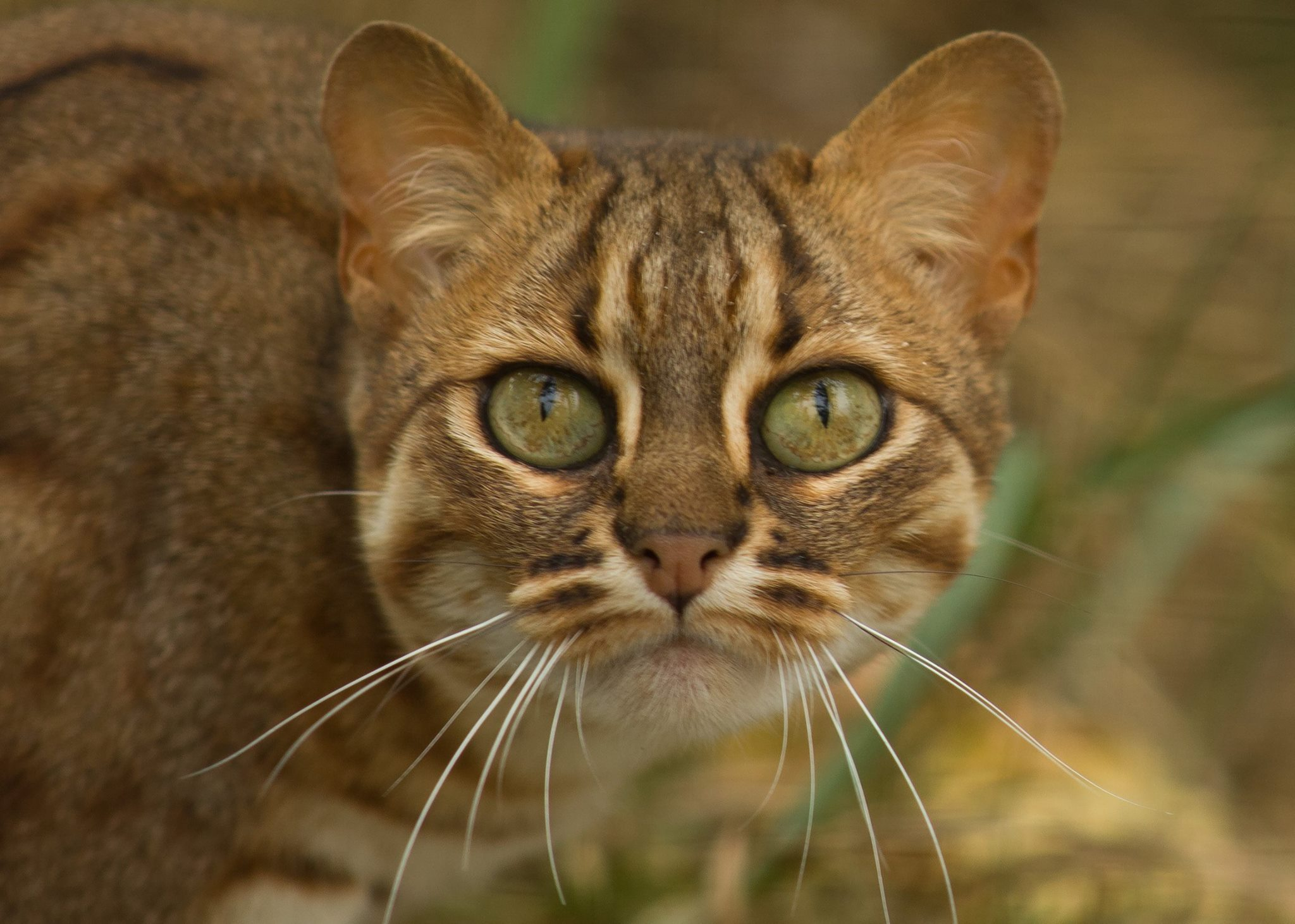 The rusty-spotted cat is the world's smallest (and most adorable ...