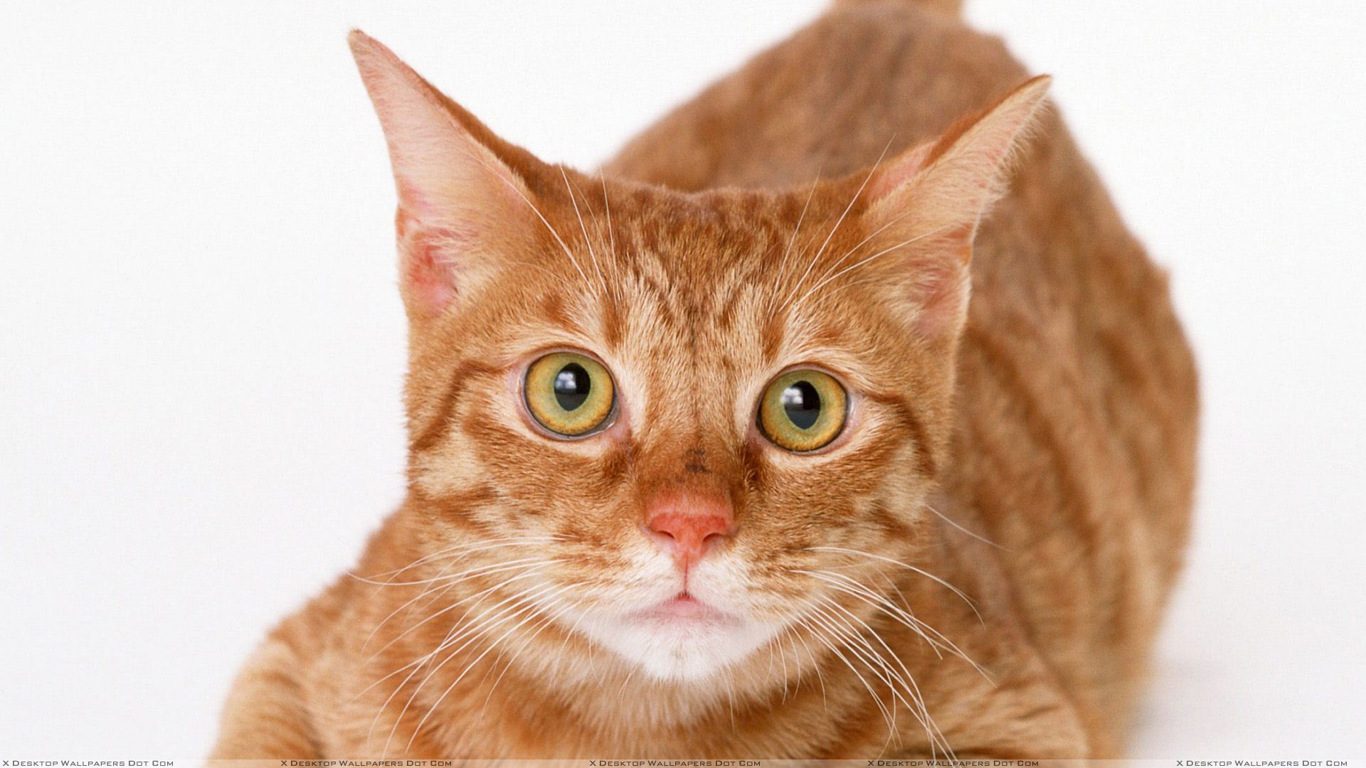 Brown Cat With Brown Eyes Face Closeup Wallpaper
