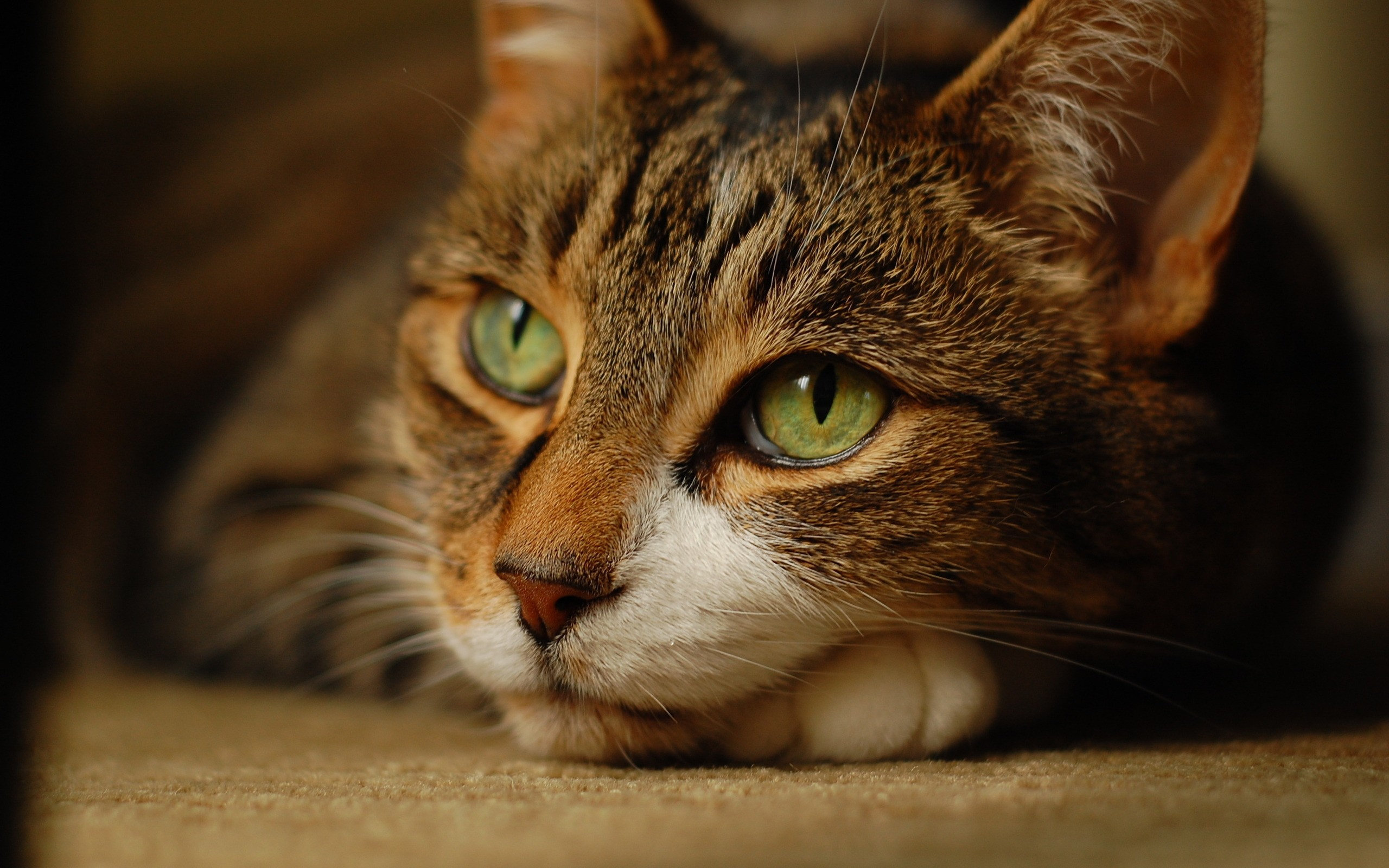 Brown cat with green eyes wallpaper | 2560x1600 | 900 | WallpaperUP