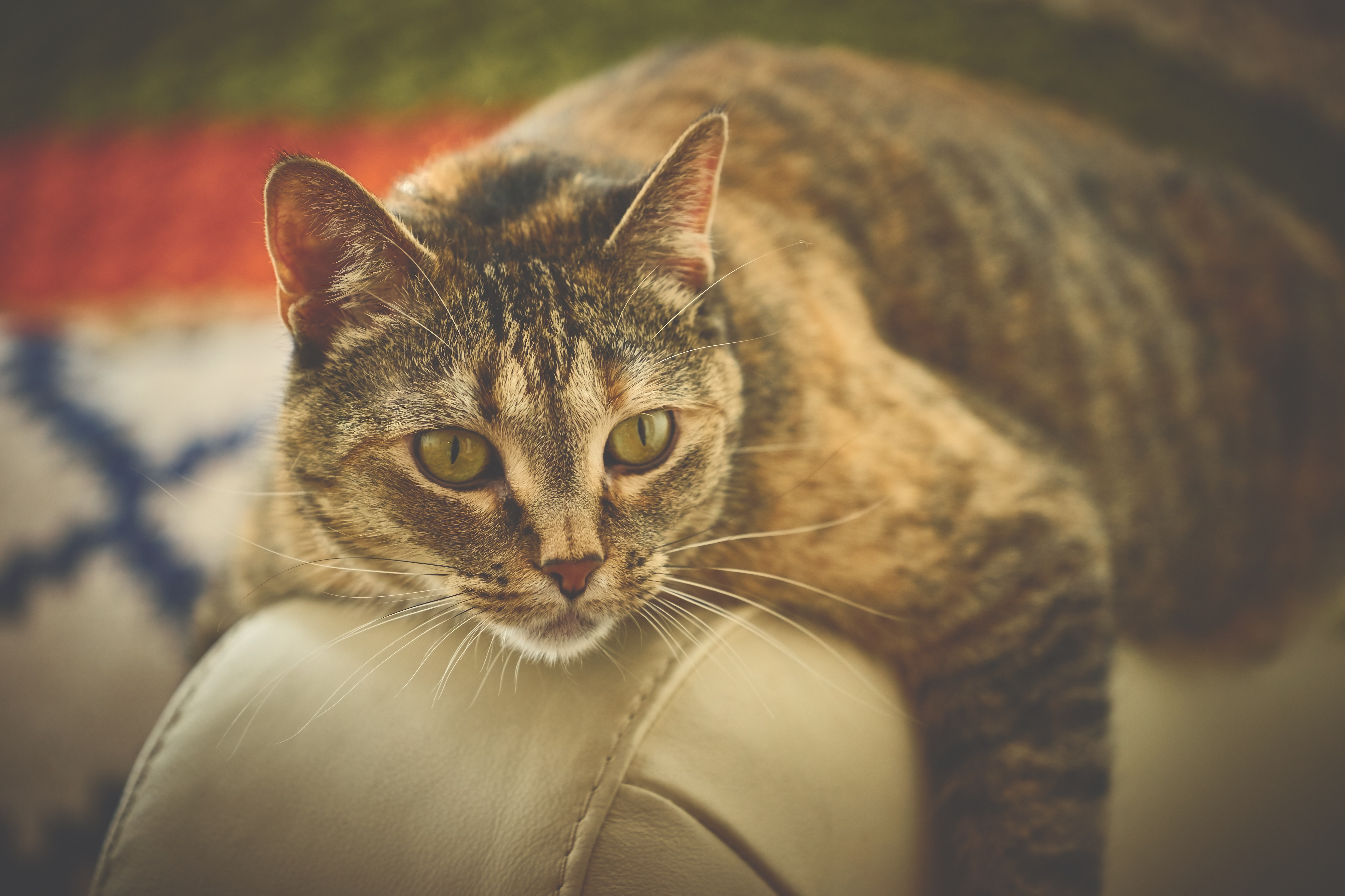 Brown cat on beige leather surface photo