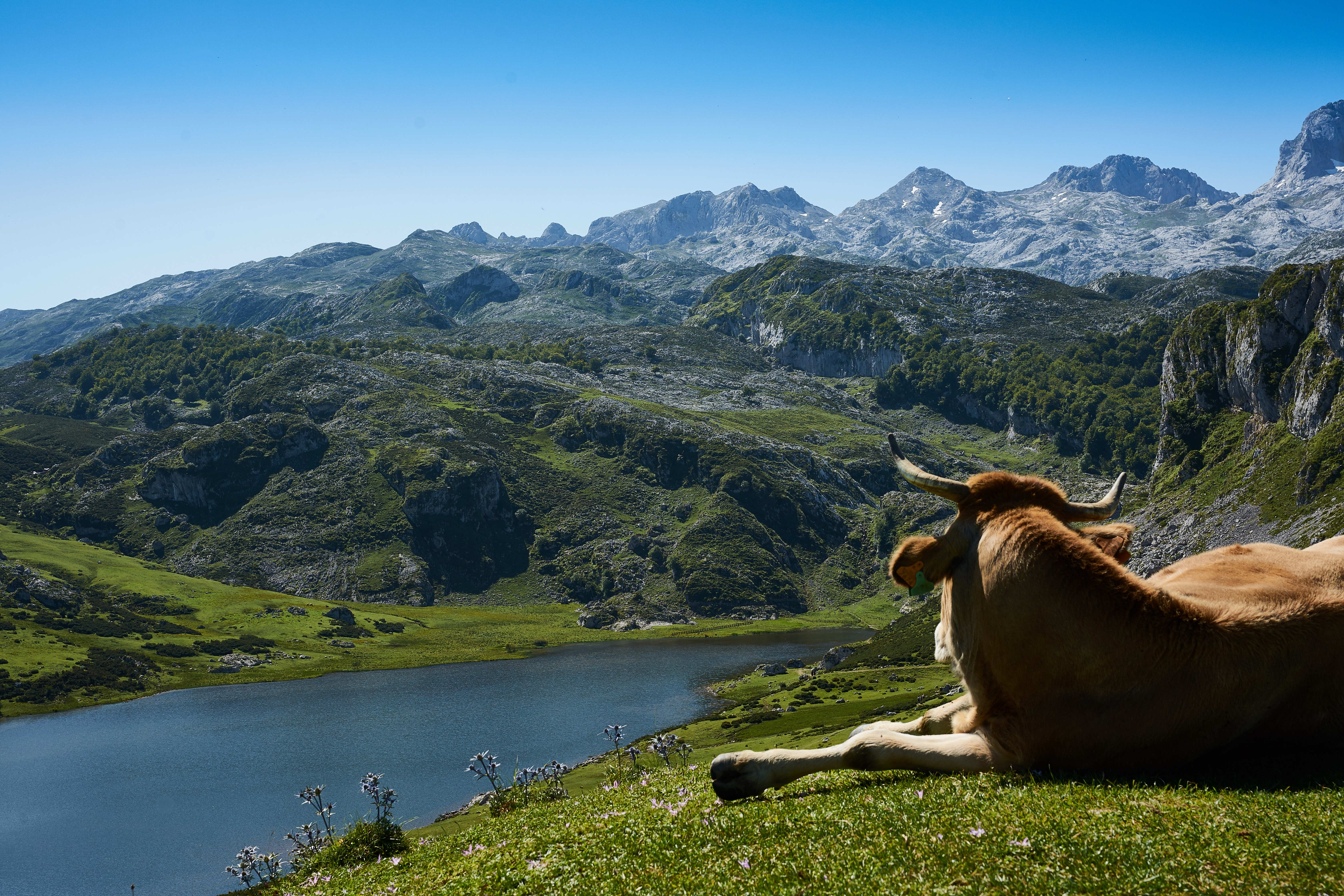 Brown cattle lying on grass field watching body of water surrounded by mountains photo