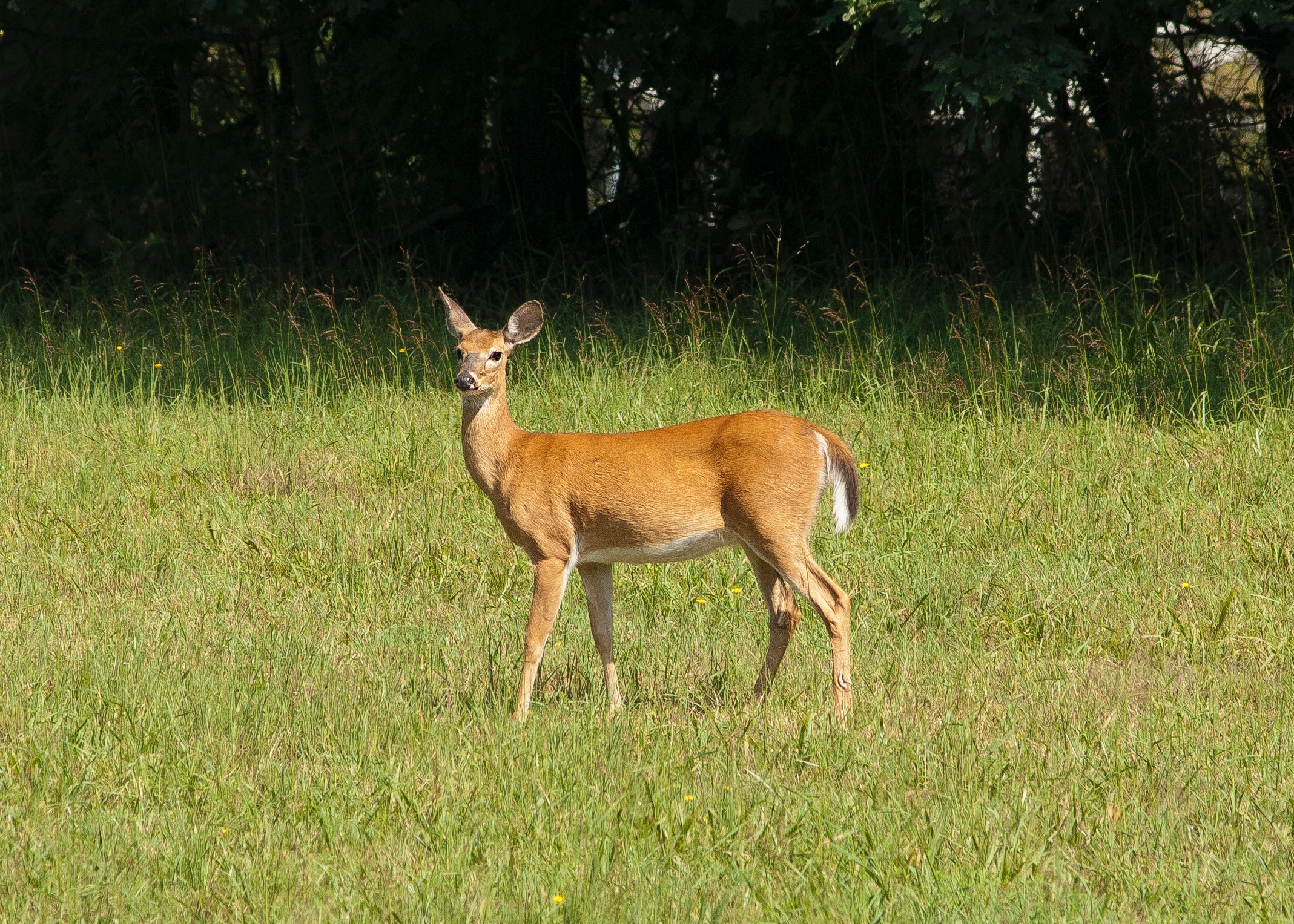 Brown deer photo