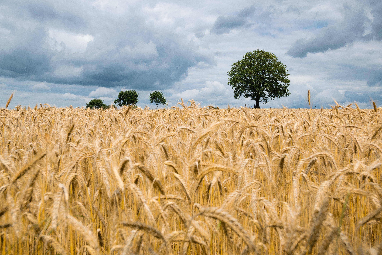 Brown Field Photo, Grain, Trees, Straw, Sky, HQ Photo