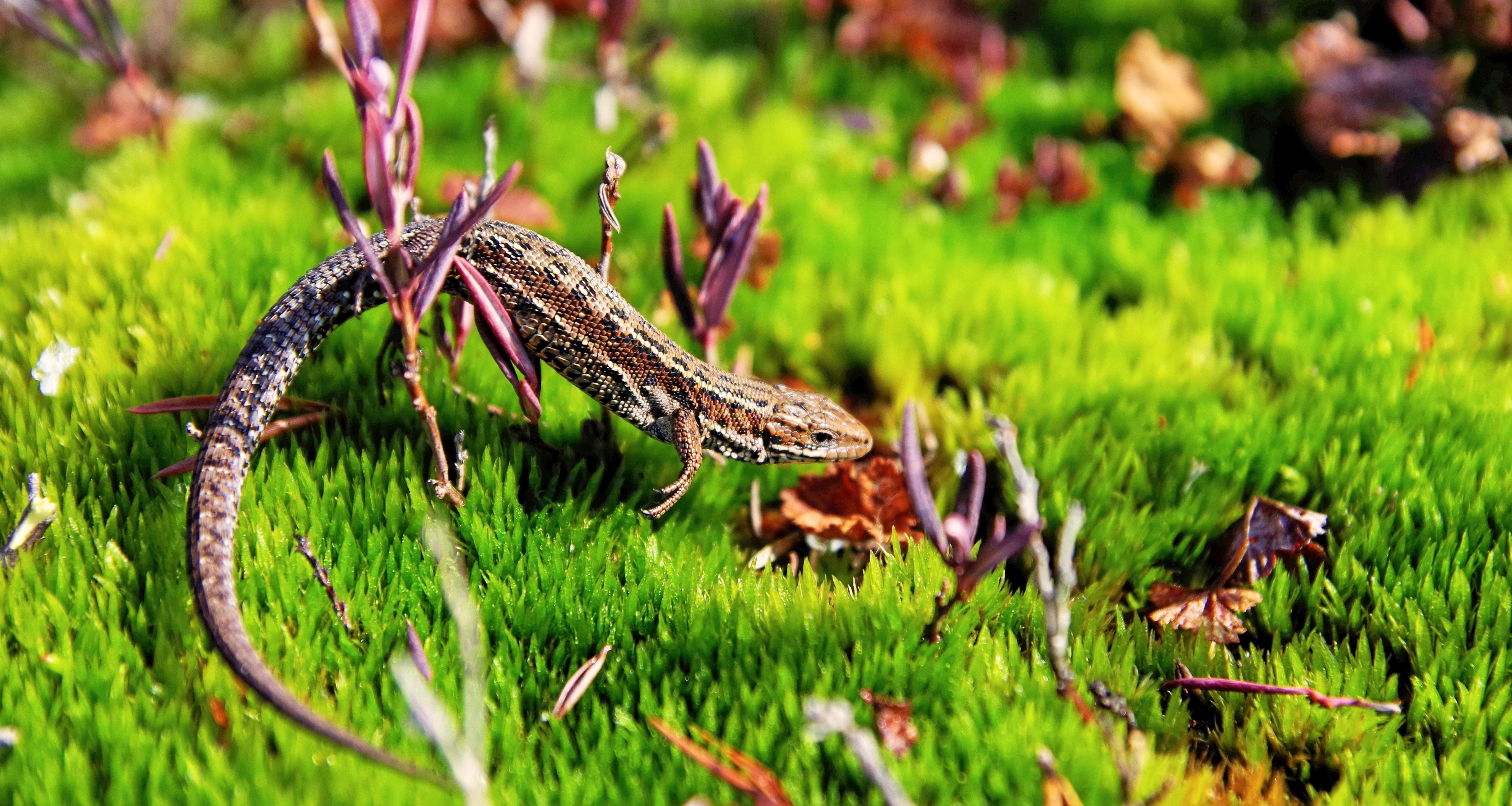 Brown gecko in green open field photo