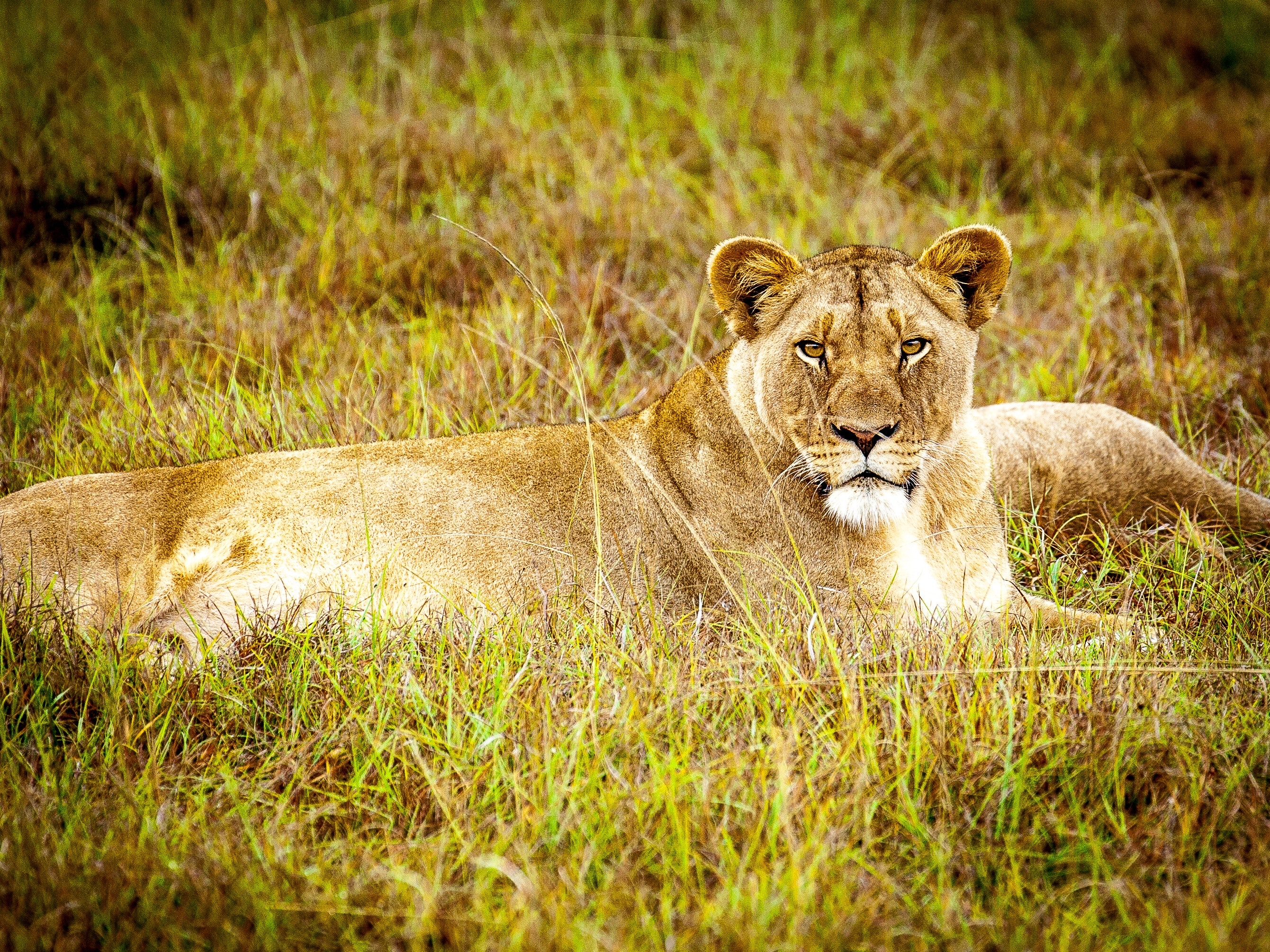 Free Photo Brown Lioness Lioness Lion Laying Free Download