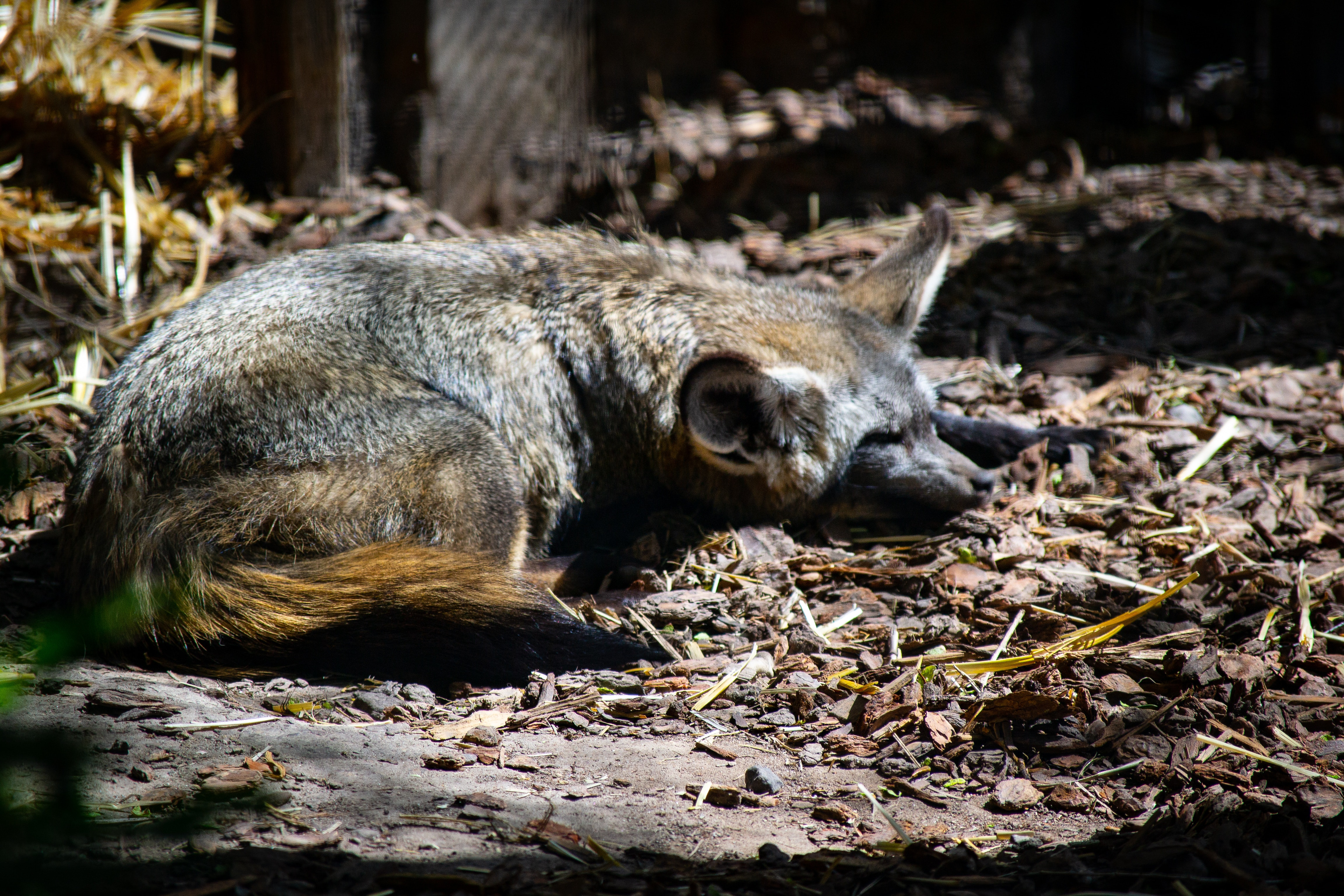 Brown mammal sleeps in the woods during the day, Brown mammal sleeps in the woods during the day