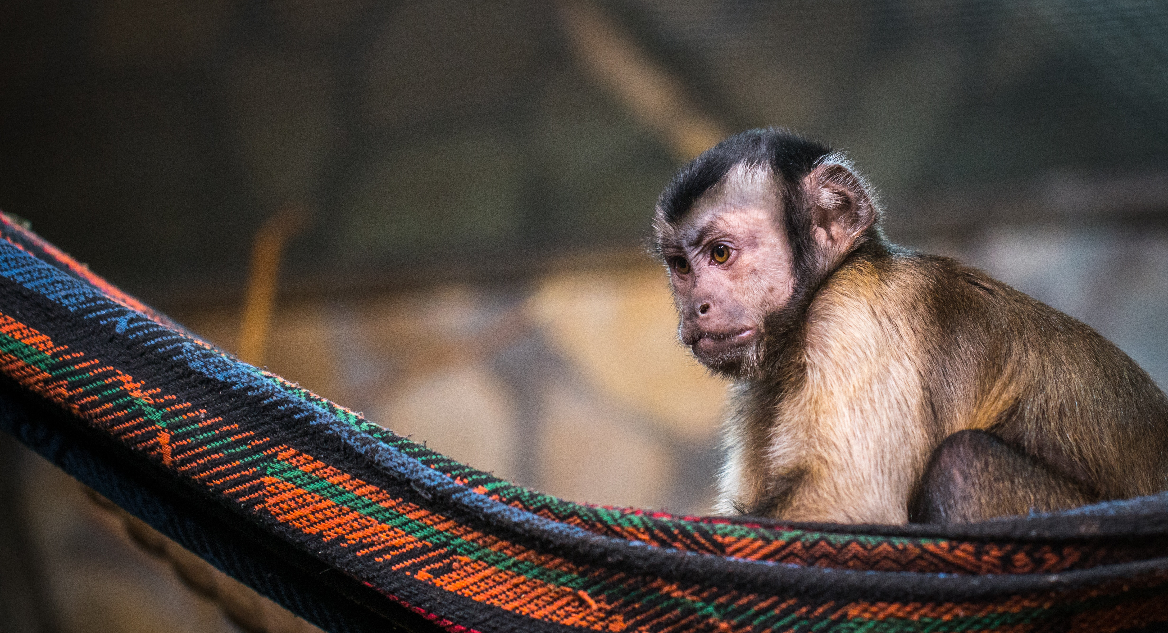 Brown monkey on red and black hammock photo