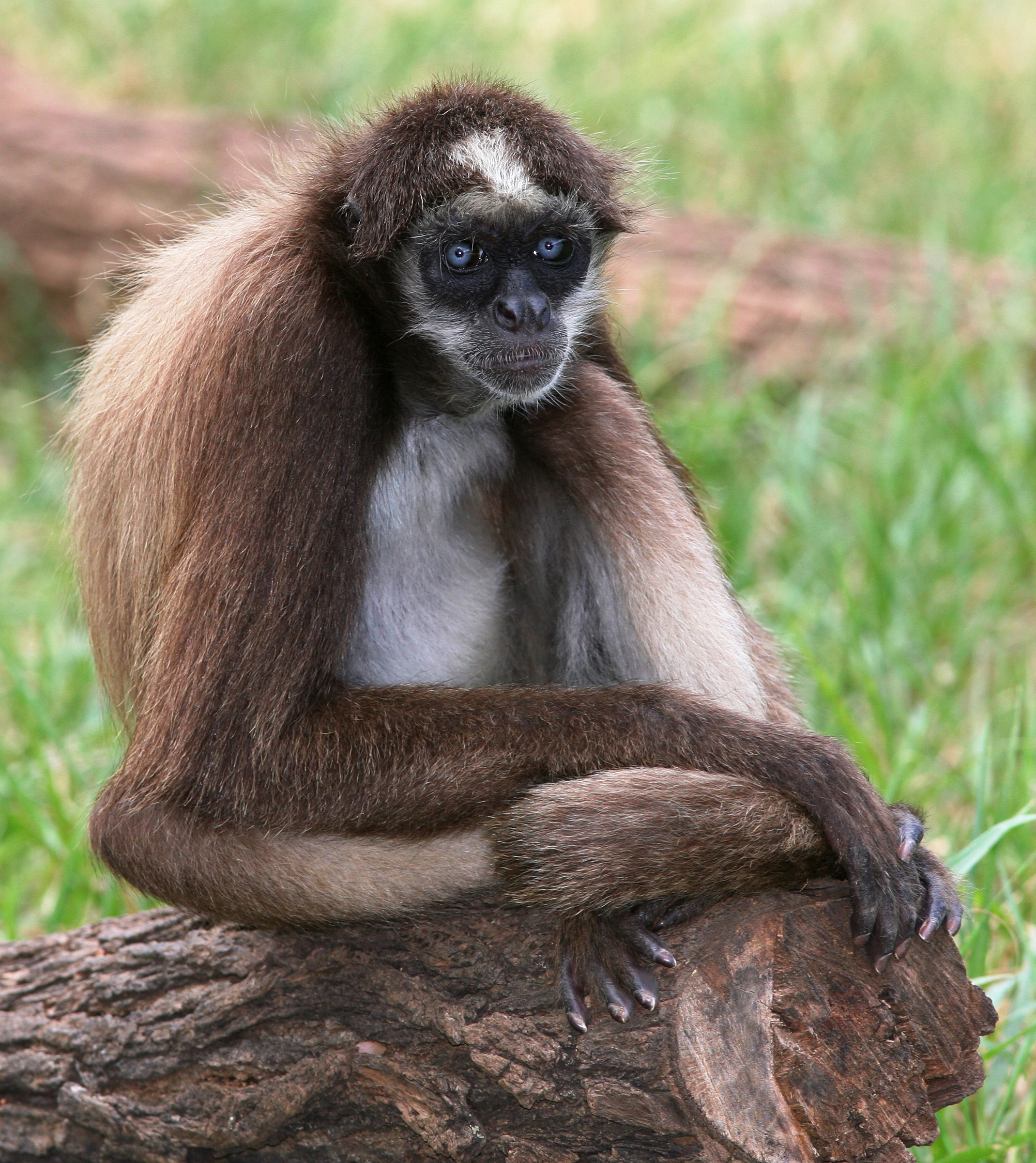 Brown spider monkey - Wikipedia