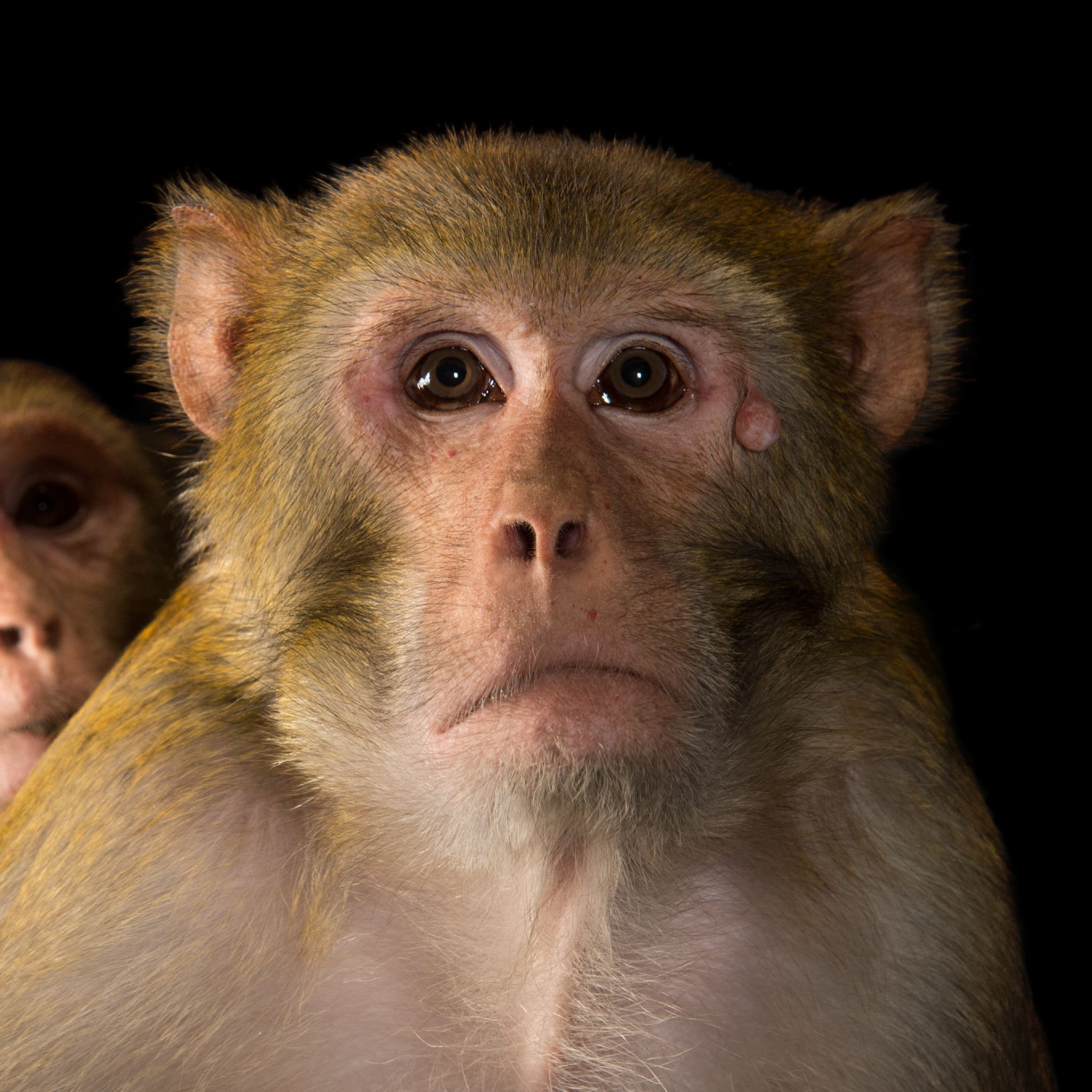 Rhesus Monkey | National Geographic