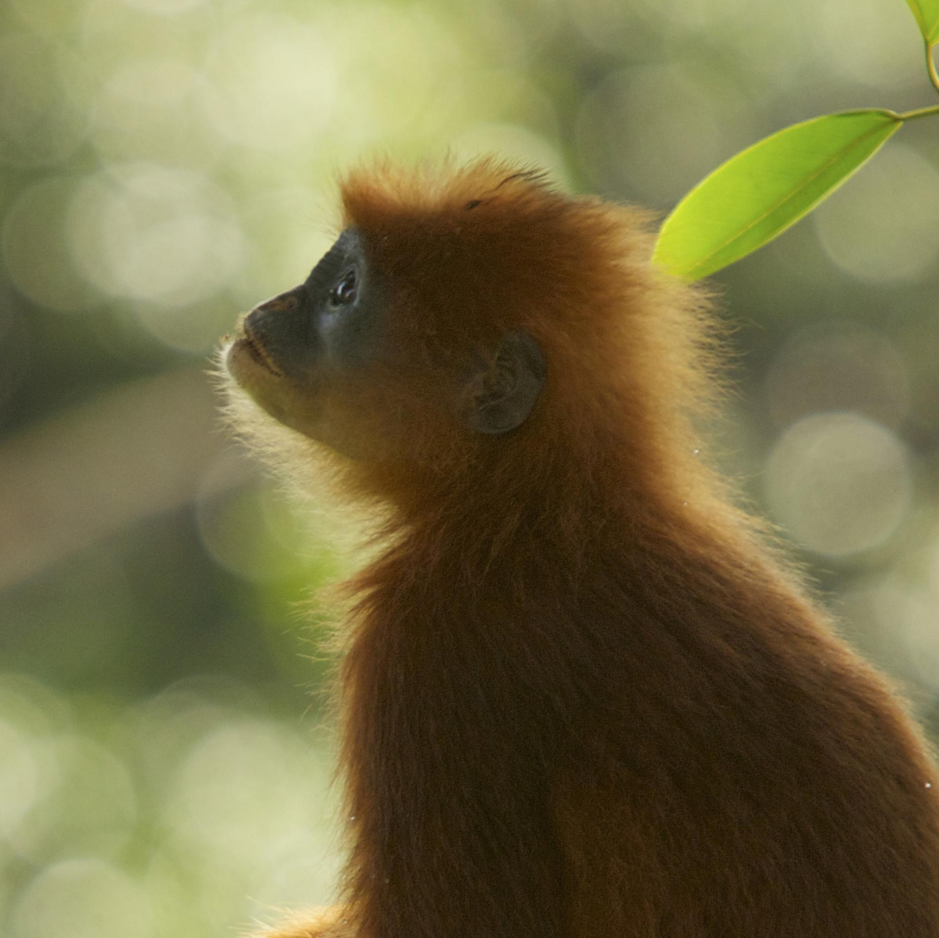 Red Leaf Monkey | National Geographic