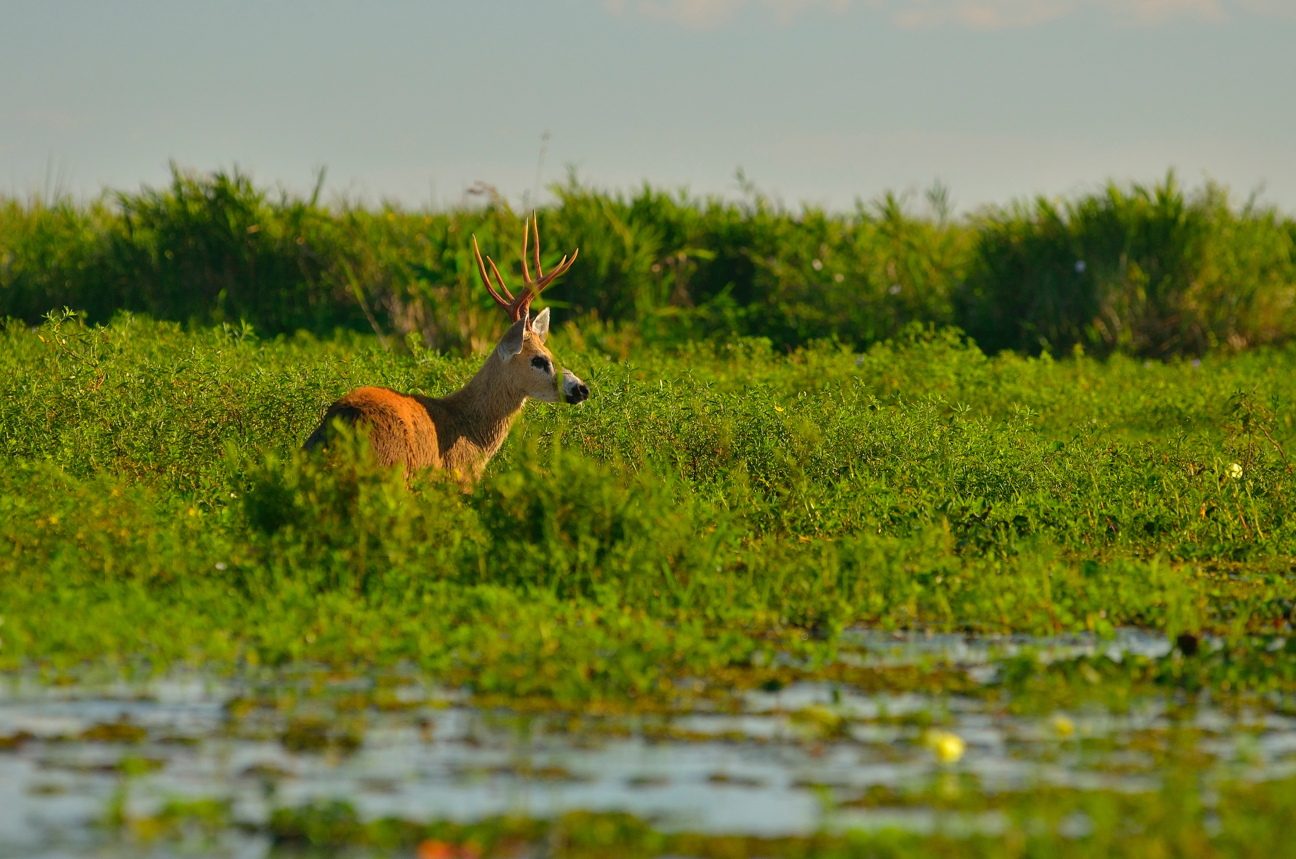 Brown moose on green leafed grass photo