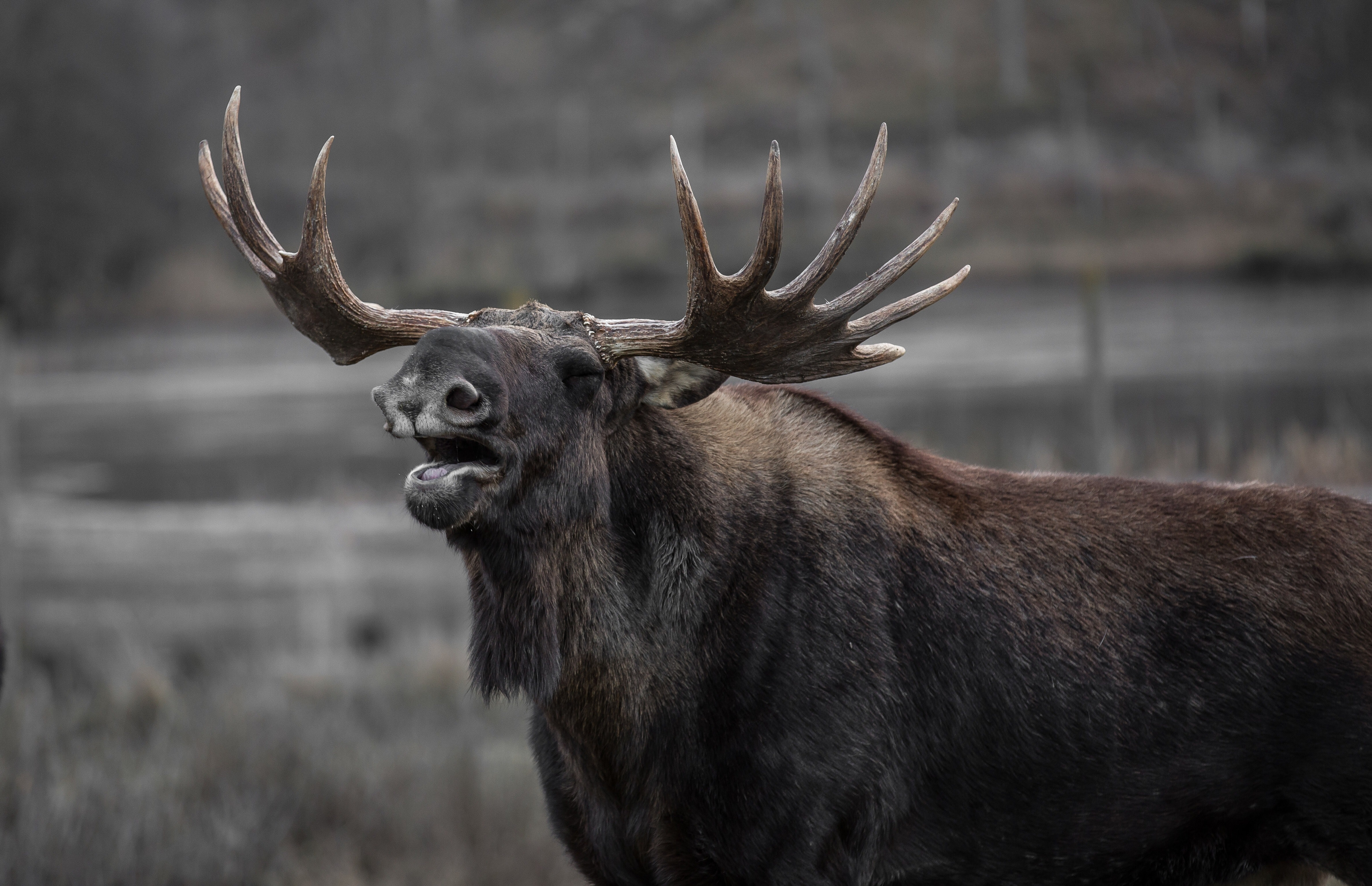 Brown moose photo